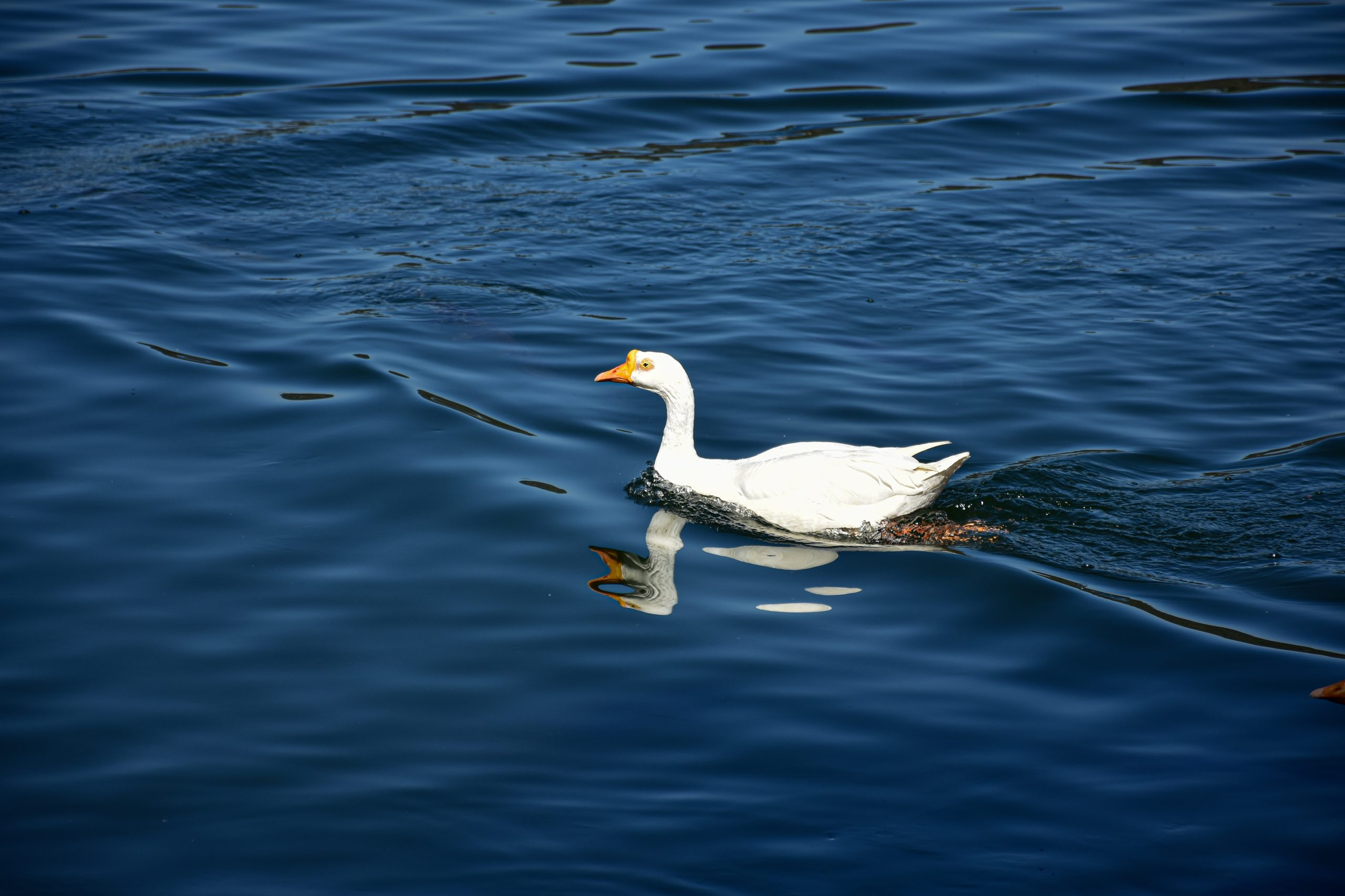 a duck swimming in a lake