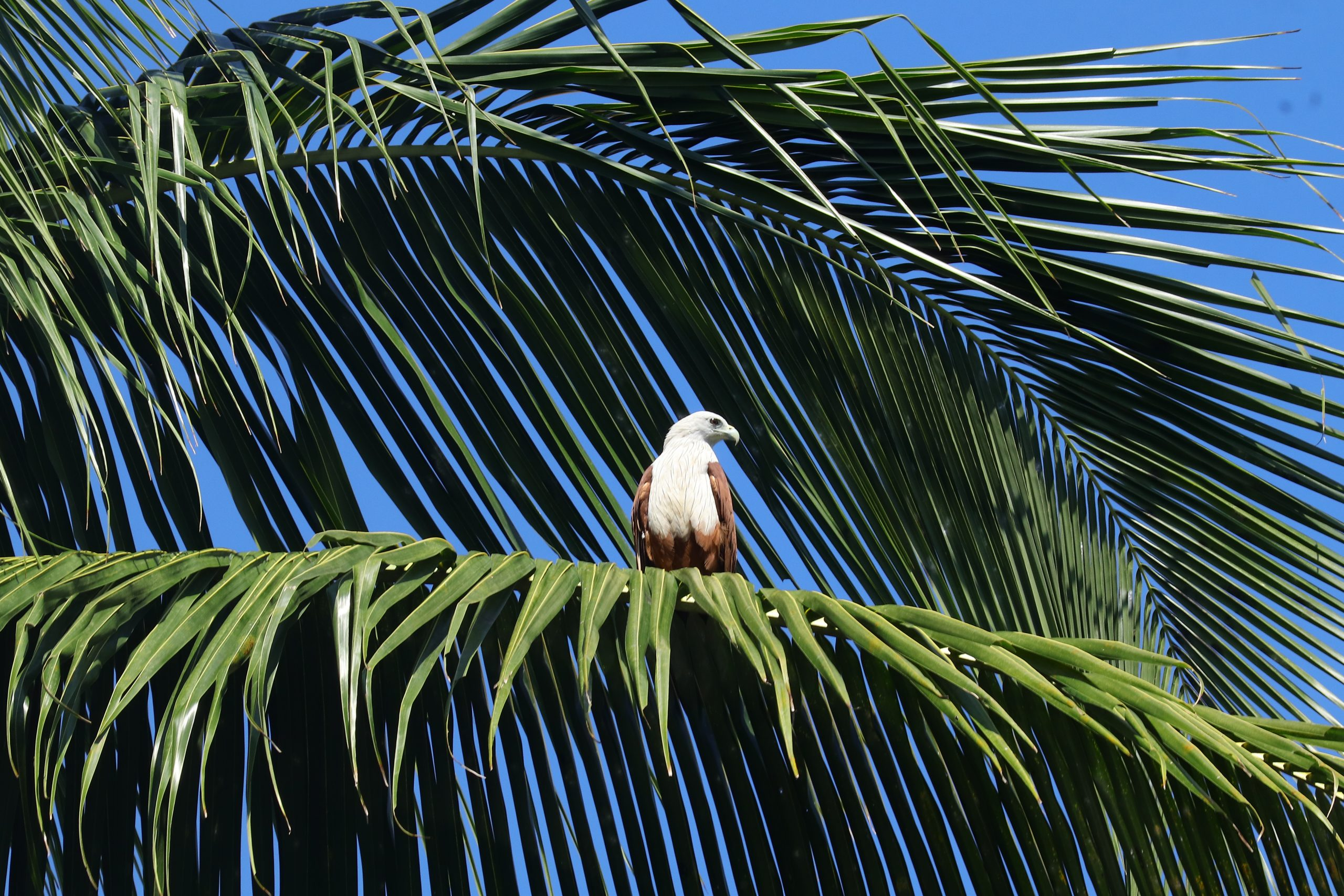 Eagle sitting on a branch of palm tree