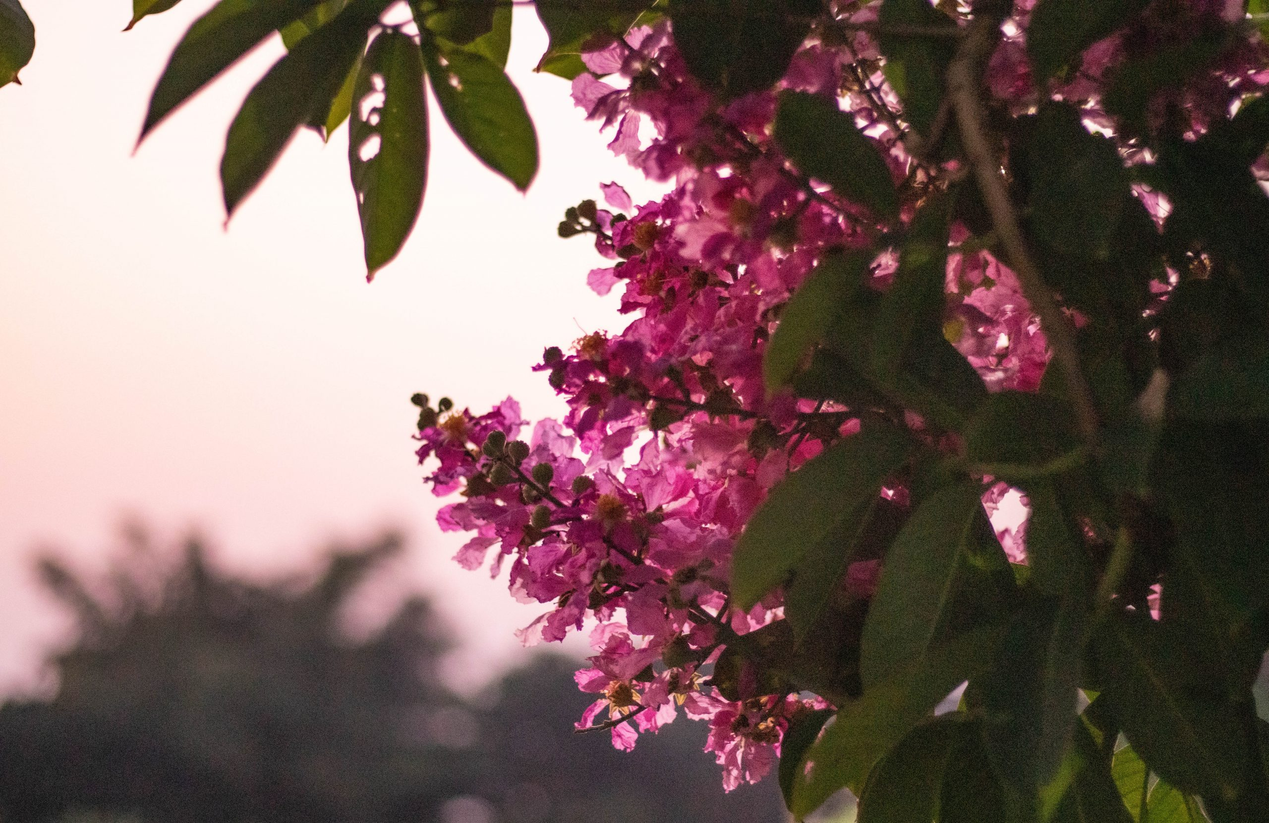 Eastern Redbud in the evening glory