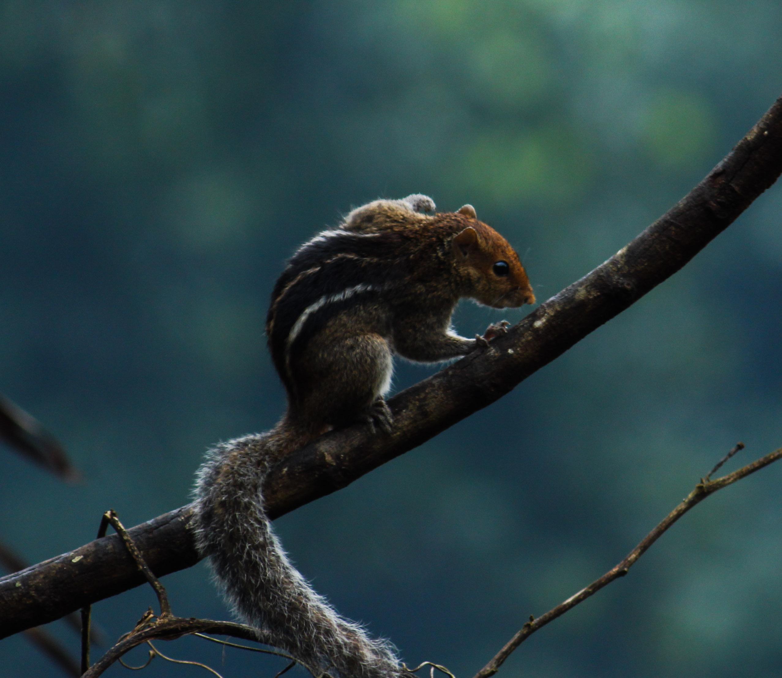 Eastern chipmunks on Tree Branch