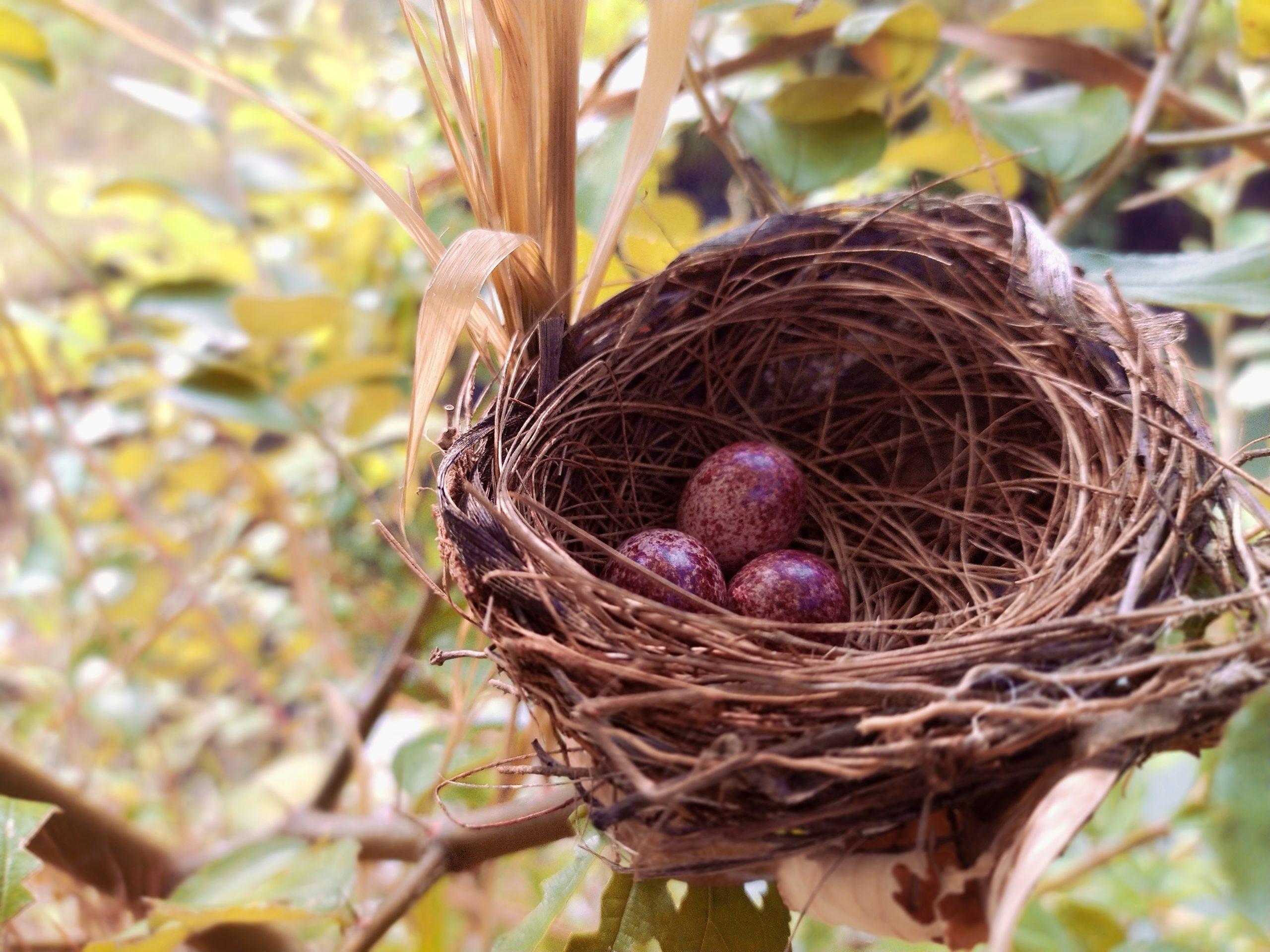 Eggs on Bird Nest