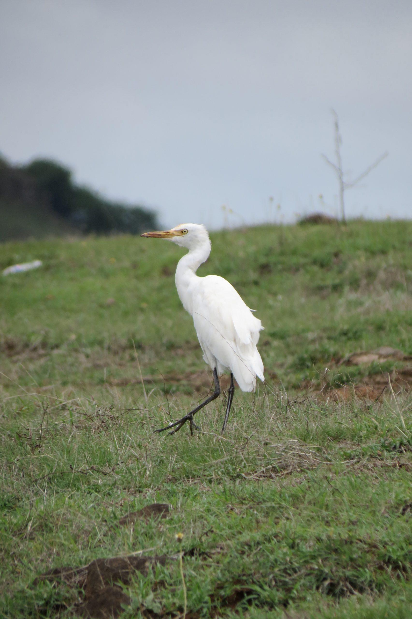 Egret Bird on the Ground