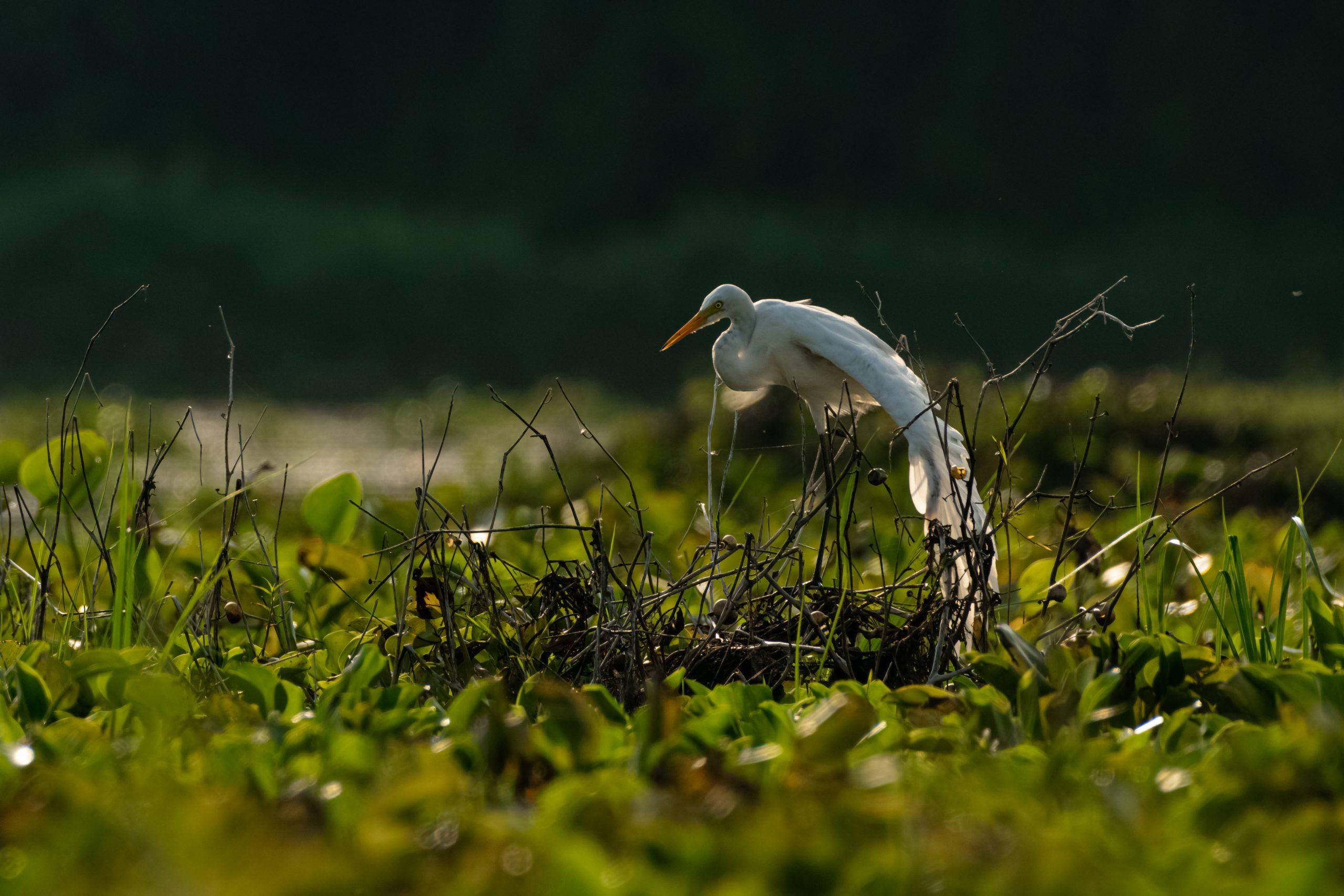 Egret on the Swamp