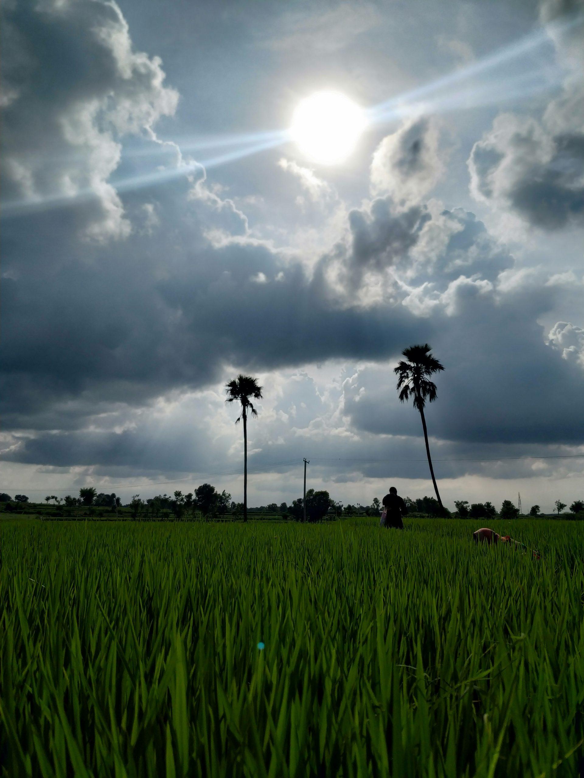 Sunny weather on rice paddies