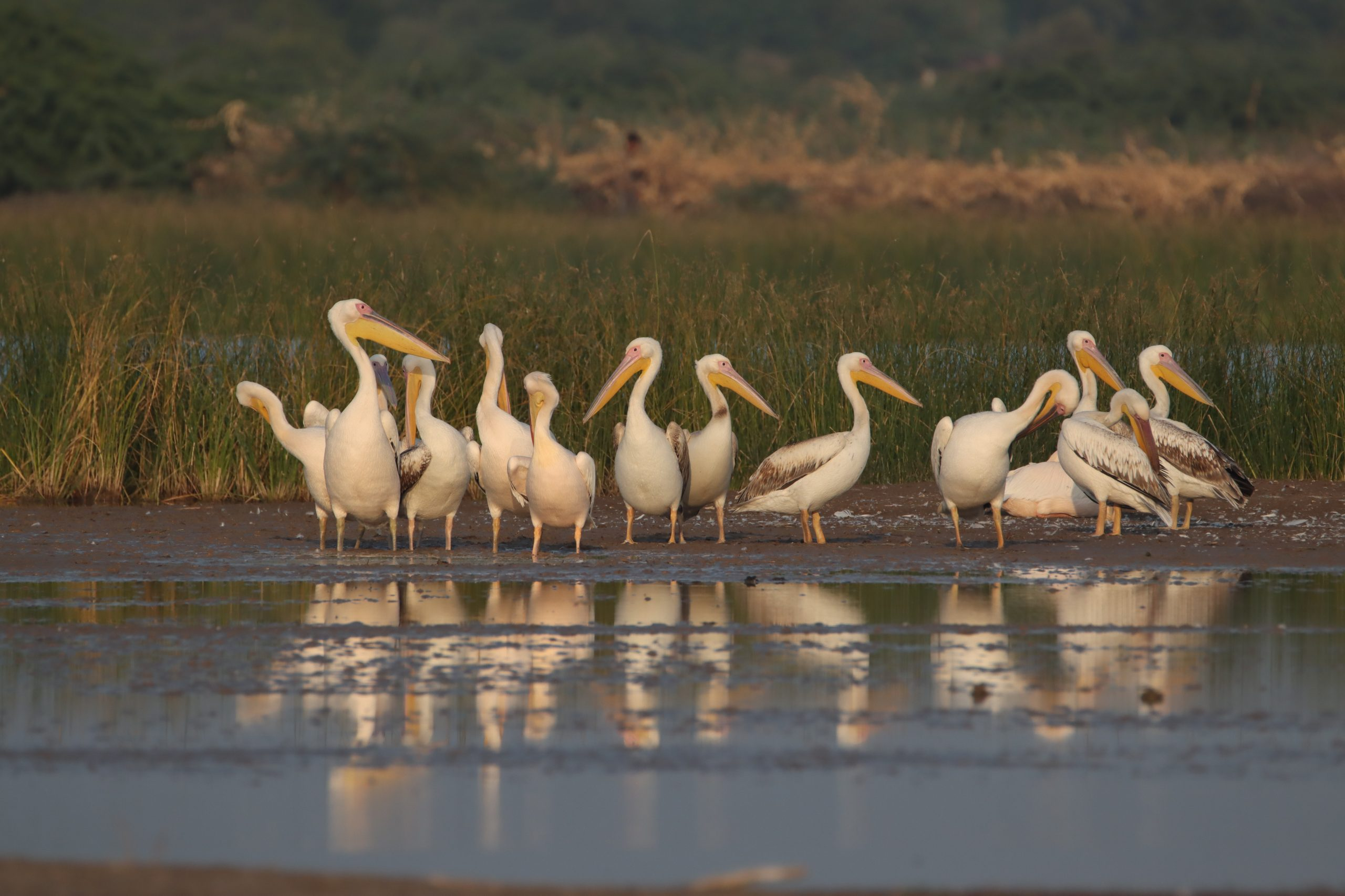 Flock of great white pelicans standing on the shore