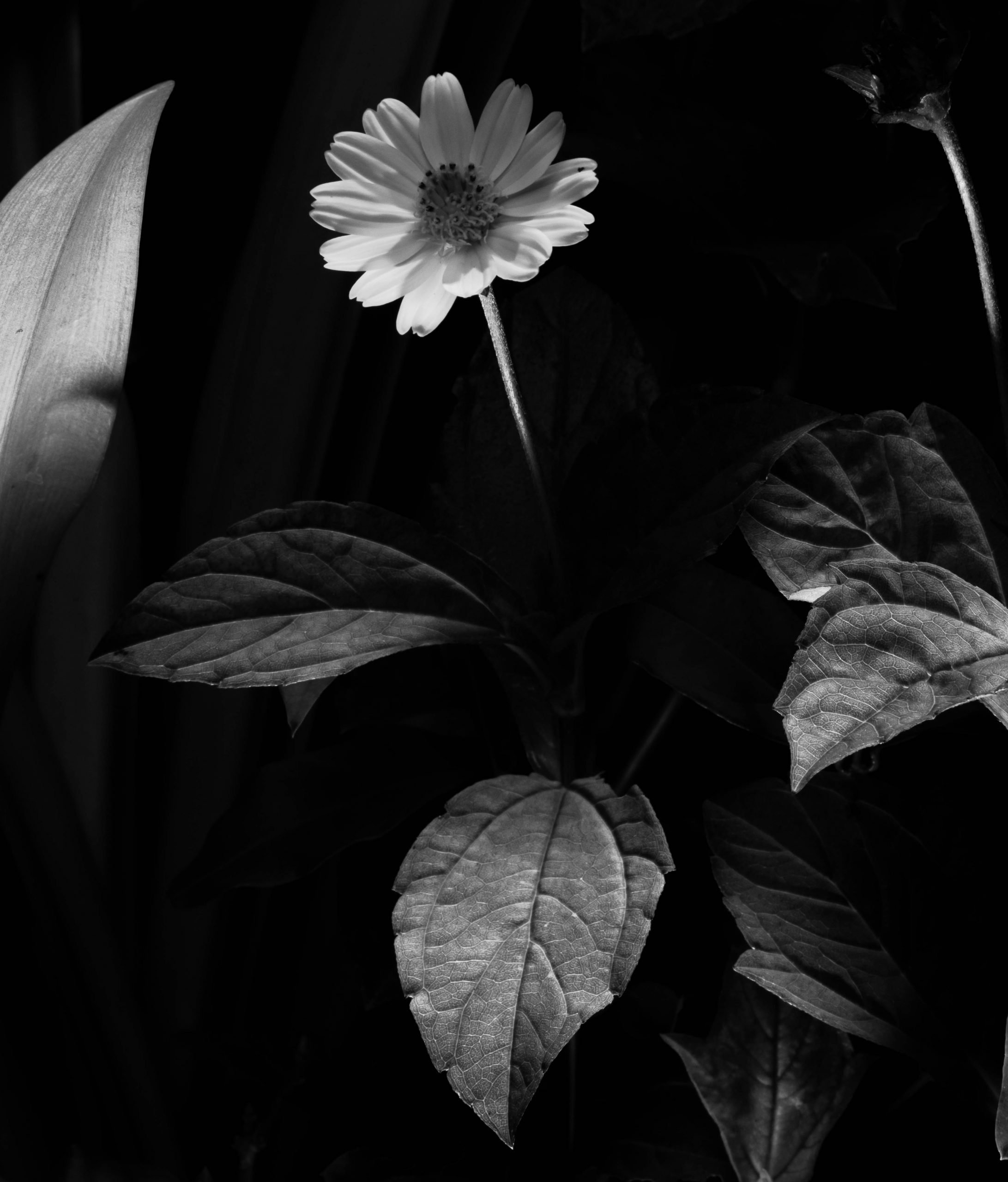 A black & white photograph of a flower.