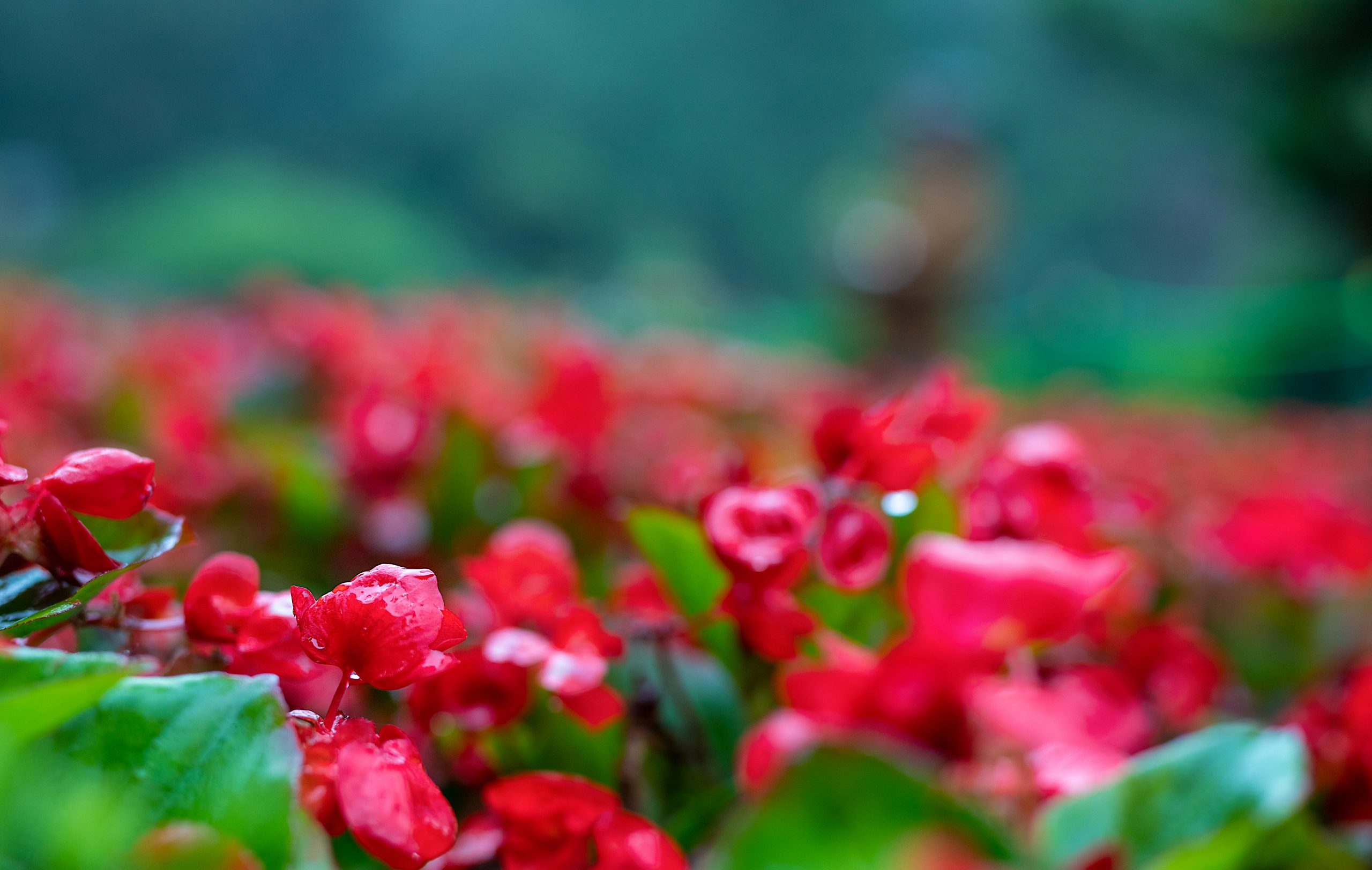 Red Flowers on Focus