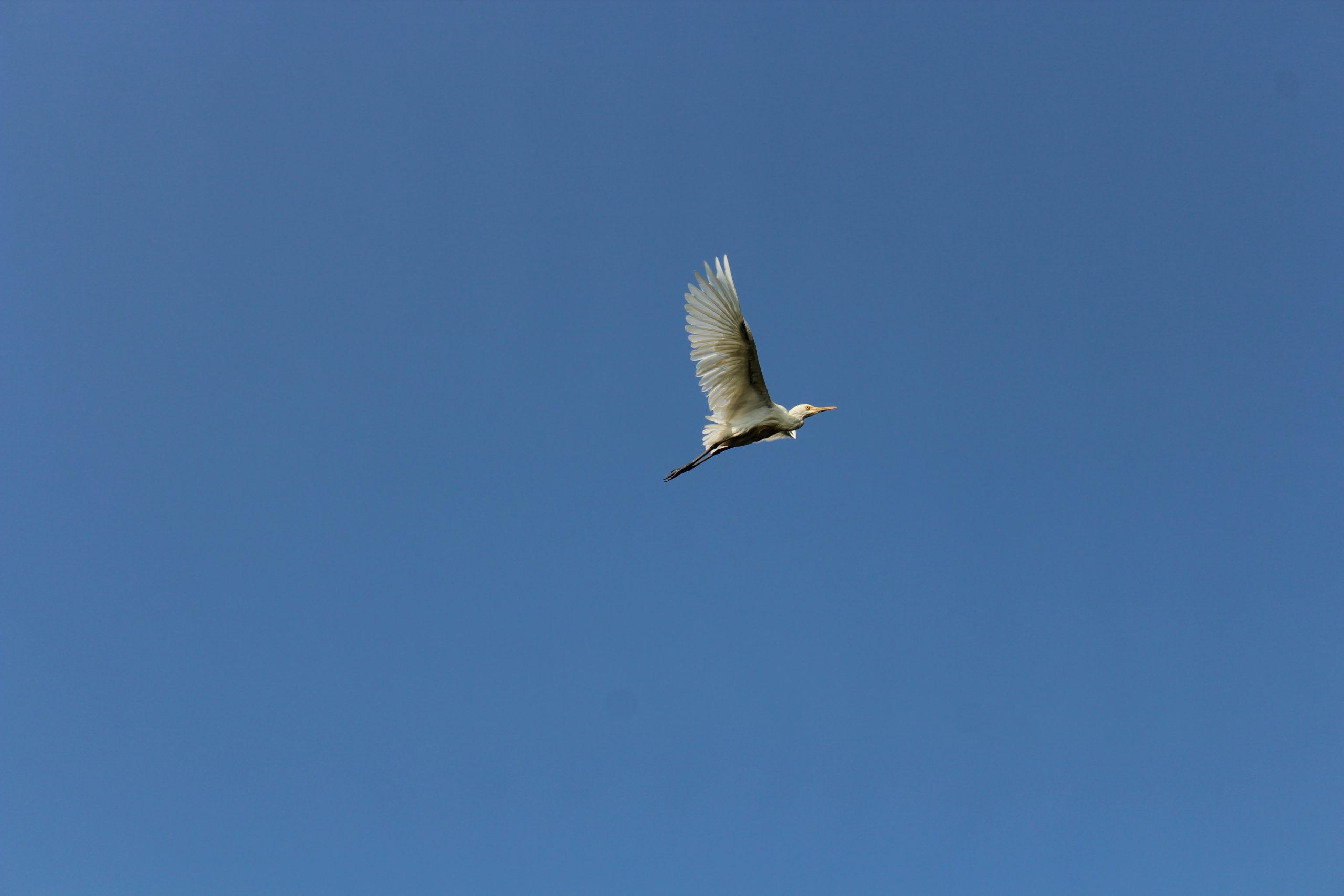 Flying Cattle Egrets