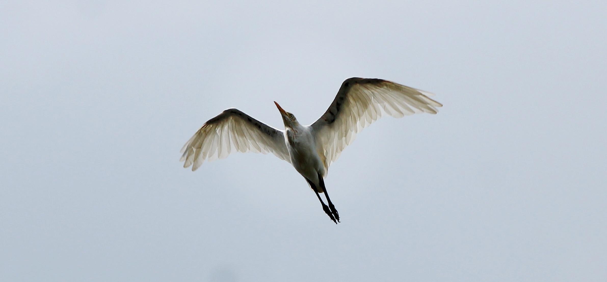 Gannet flying at the sky