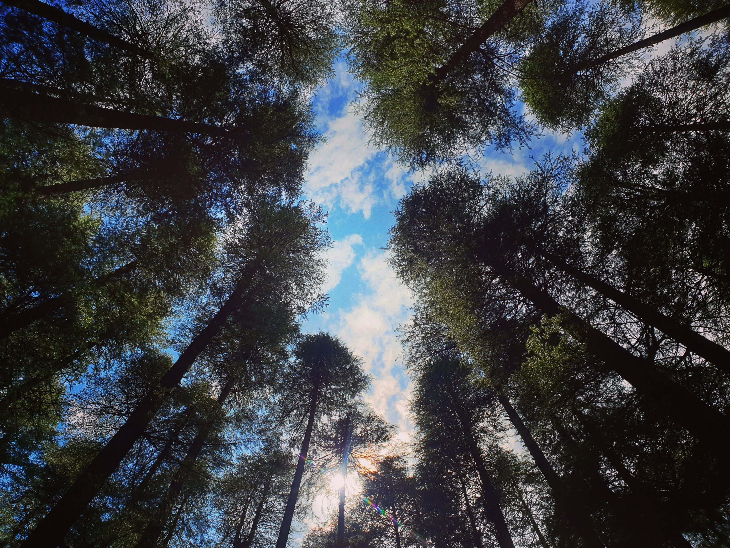 A picture showing tall trees and the sky