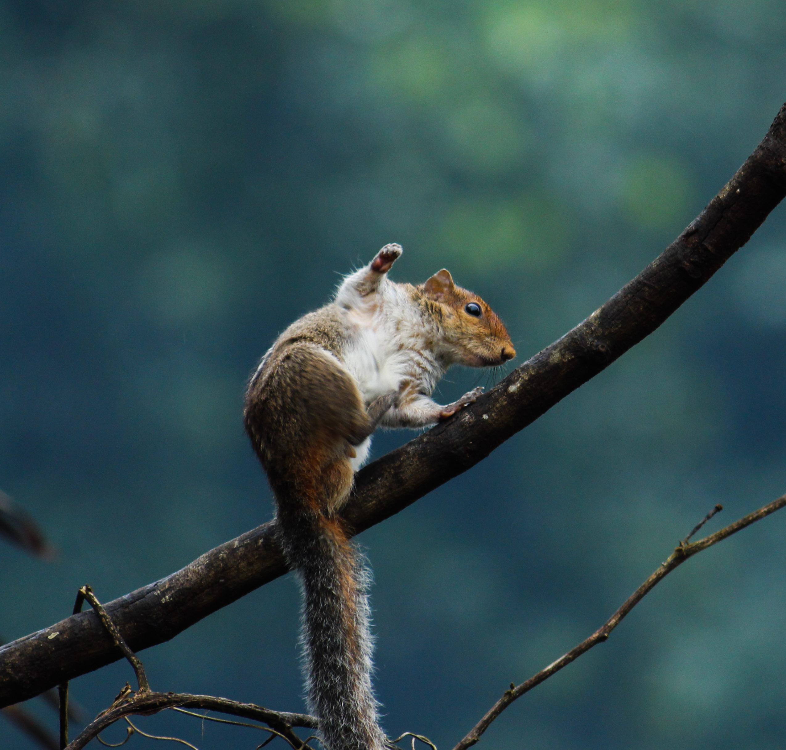 Fox Squirrel on Twig