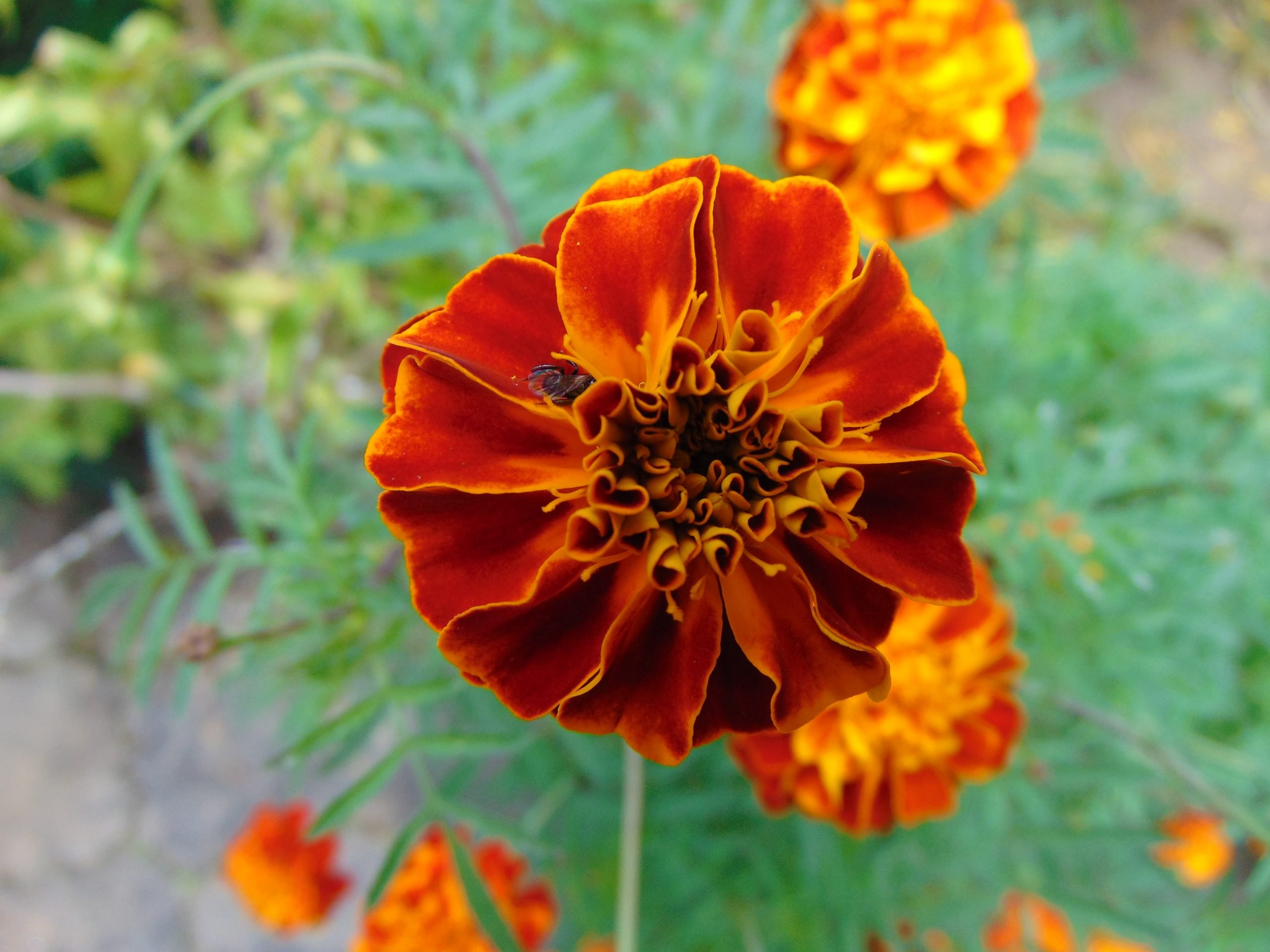French Marigold Flower on Focus