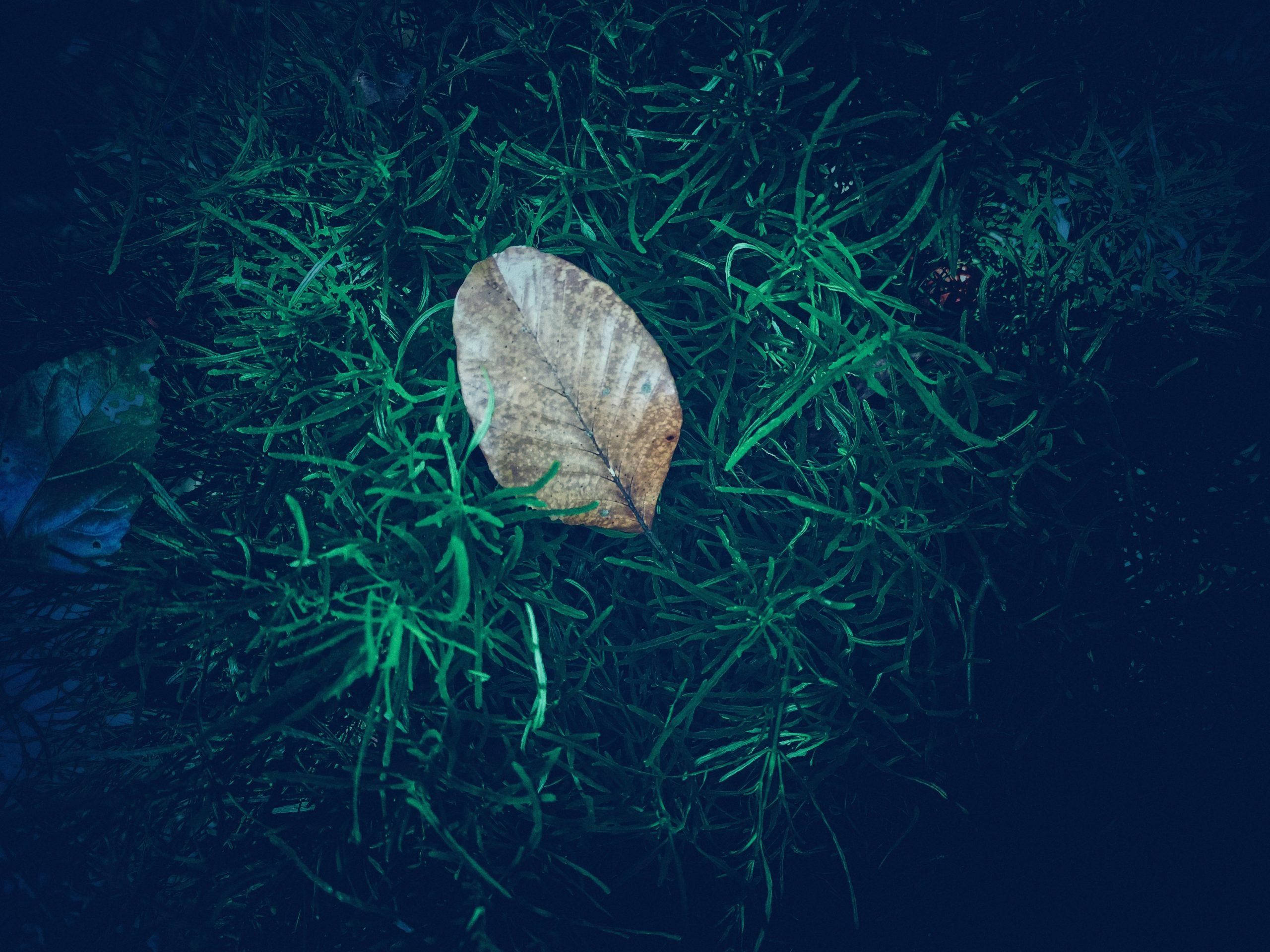 Dried leaf amid lush foliage