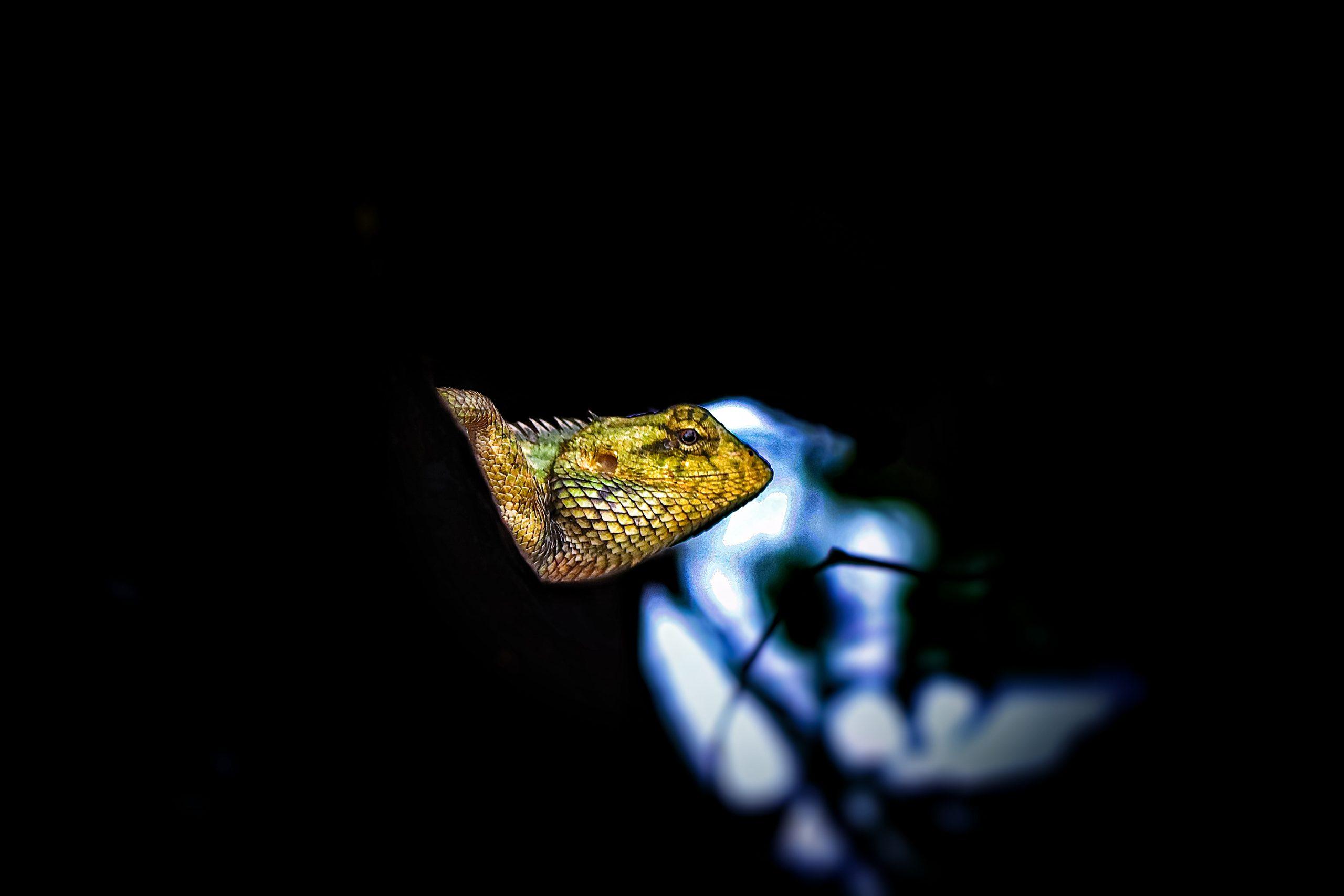 Garden lizard is sitting on the branch of tree, dark background.