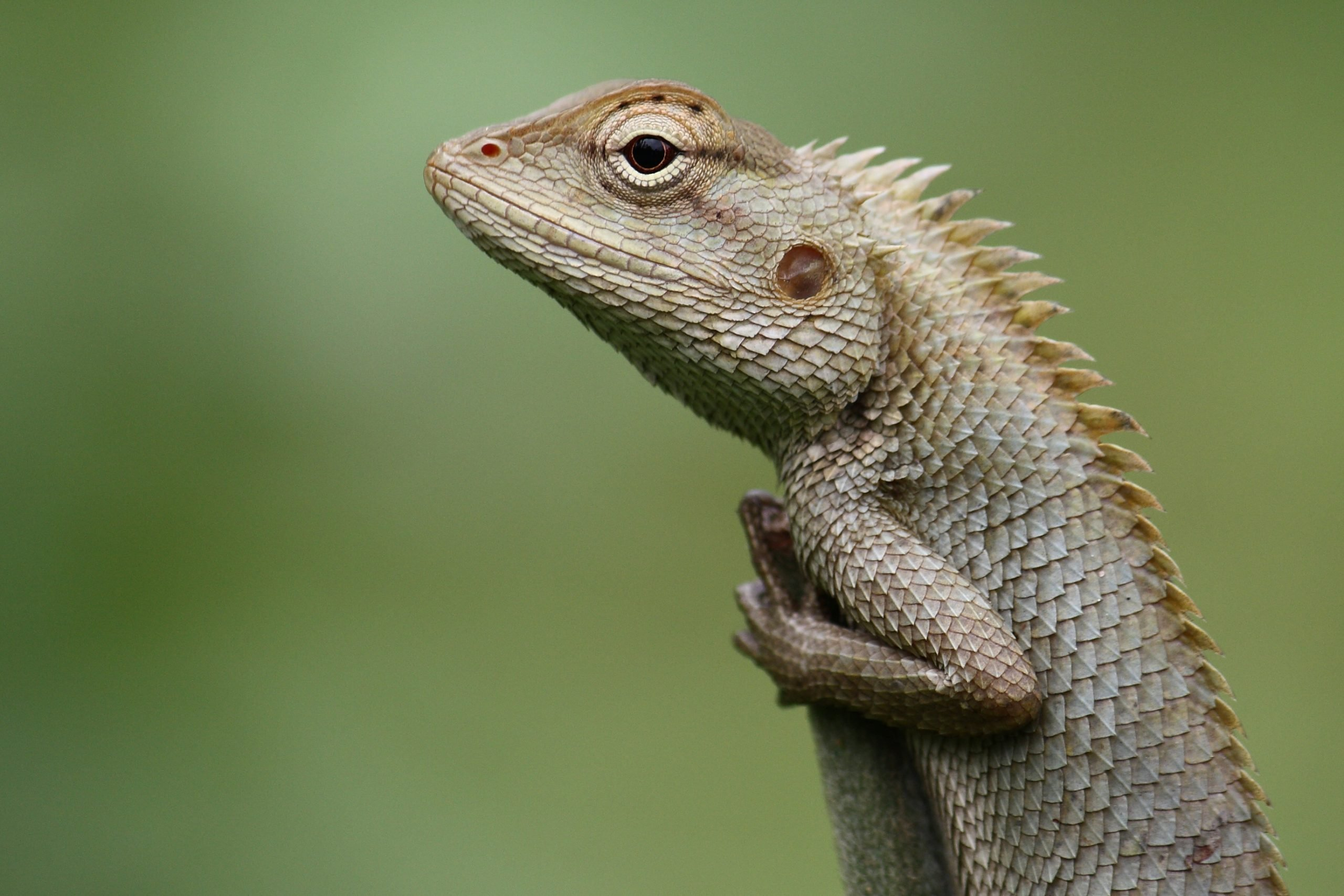 Gazing Chameleon