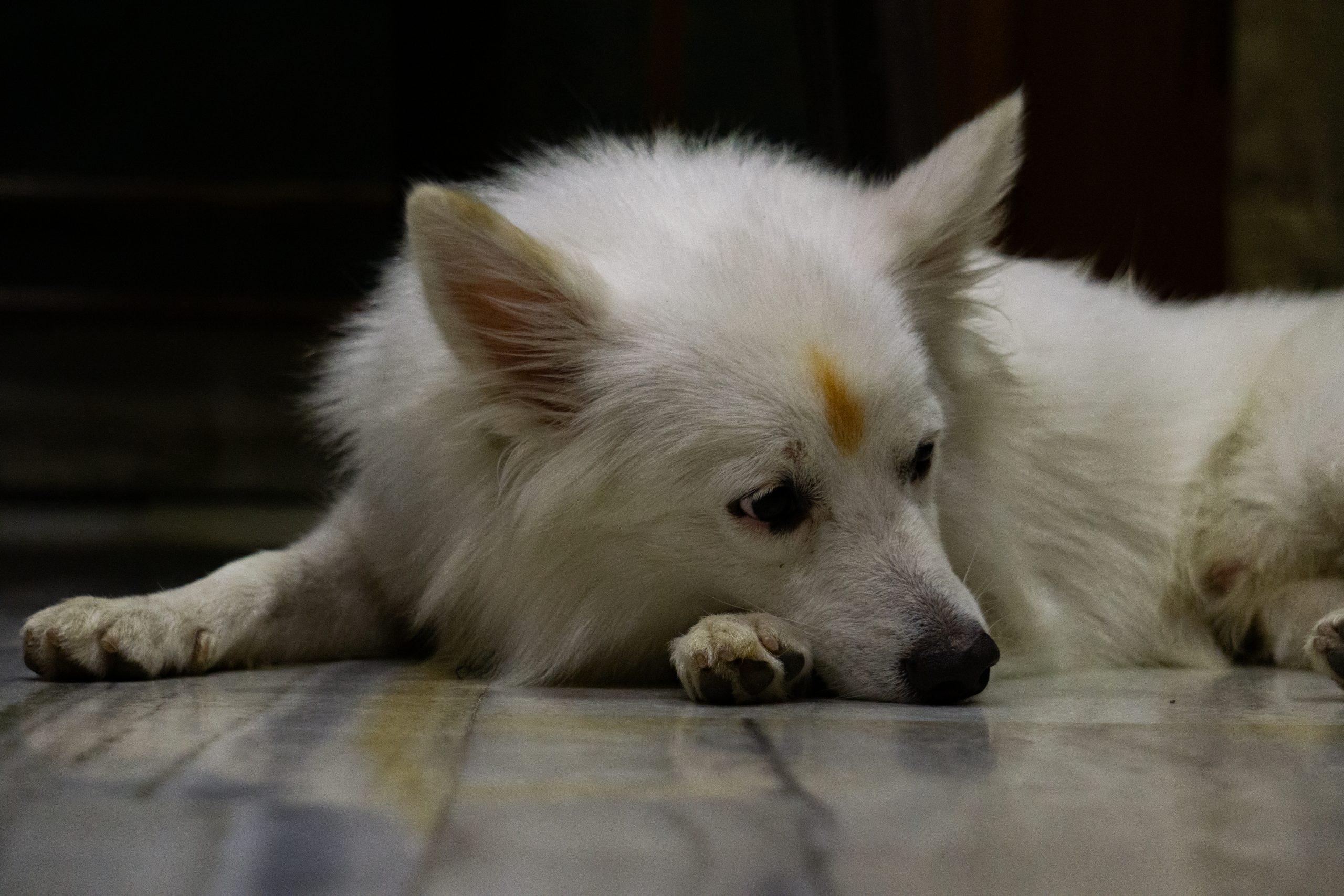 German Spitz pet dog