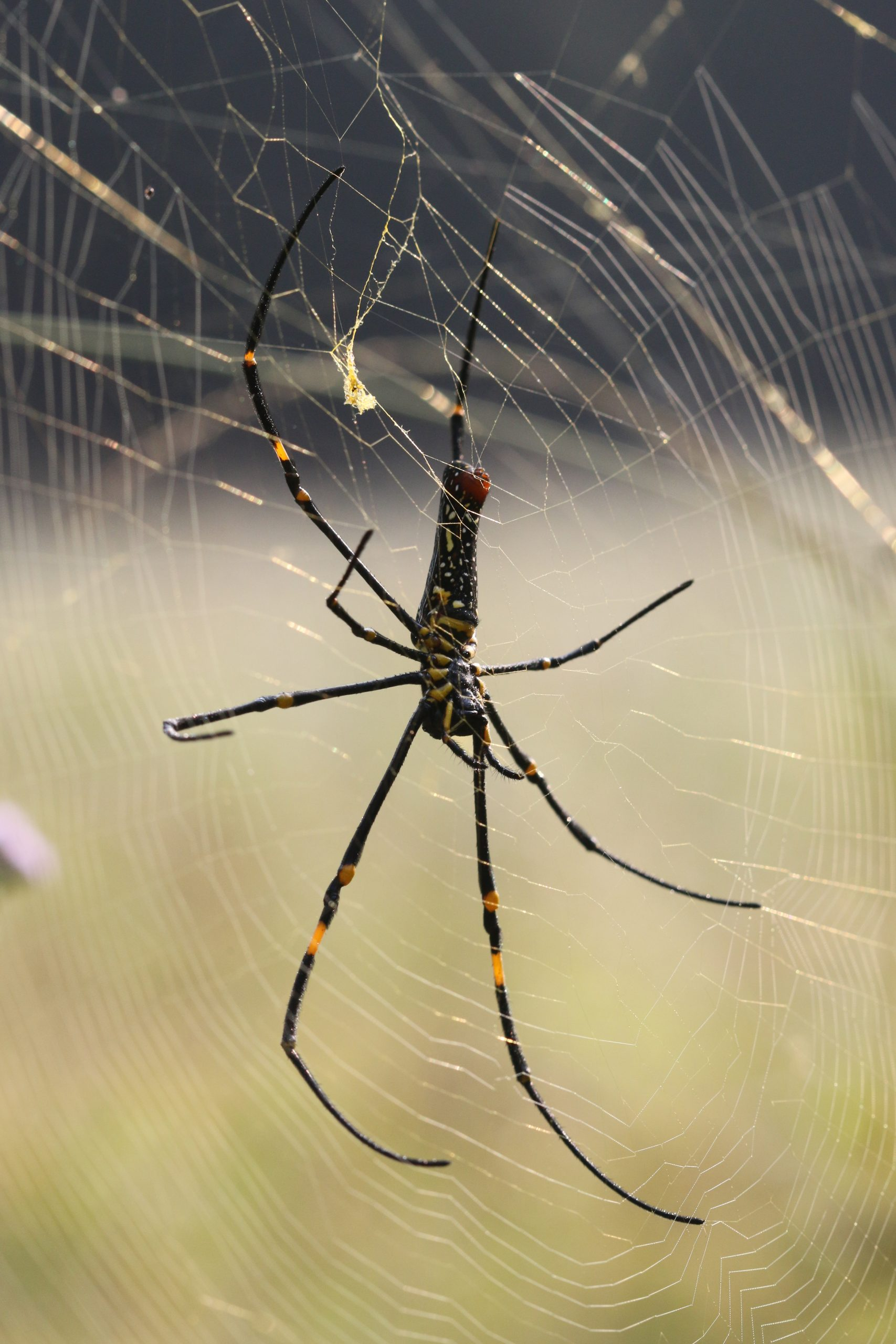 Giant Wood Spider on Focus