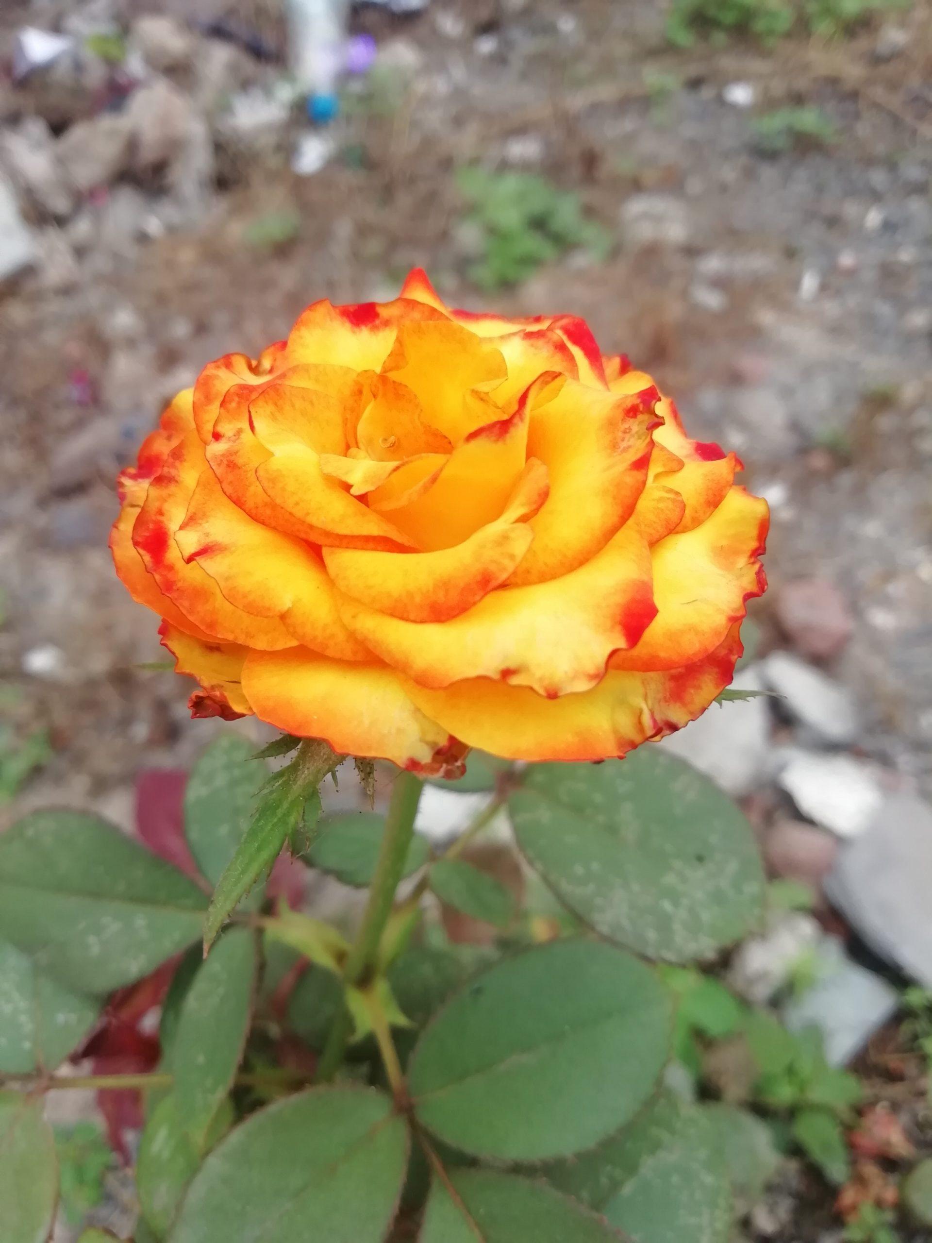 Golden Rose on Focus