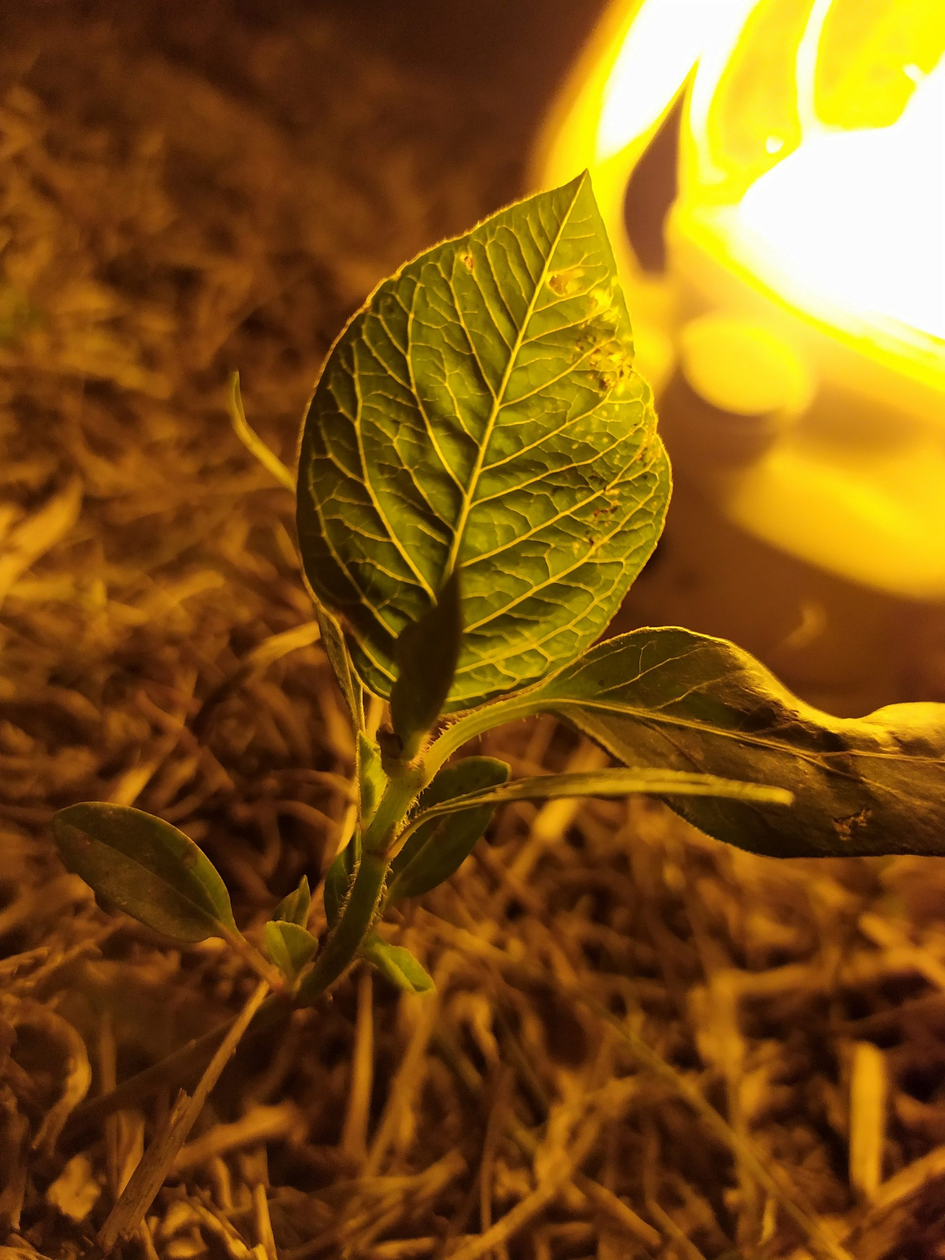 A leaf brightly lit by a lamp