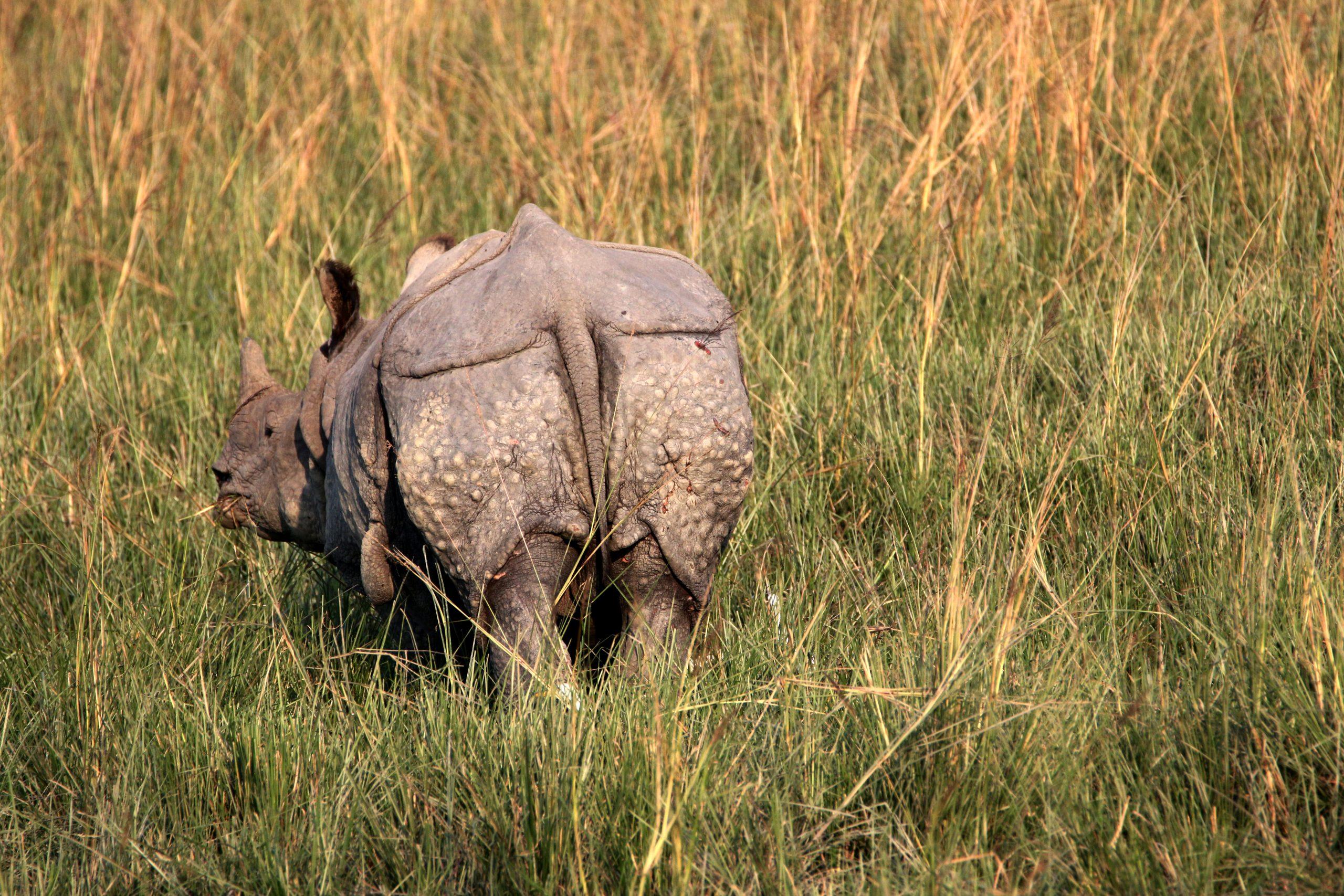 Grazing Indian Rhino