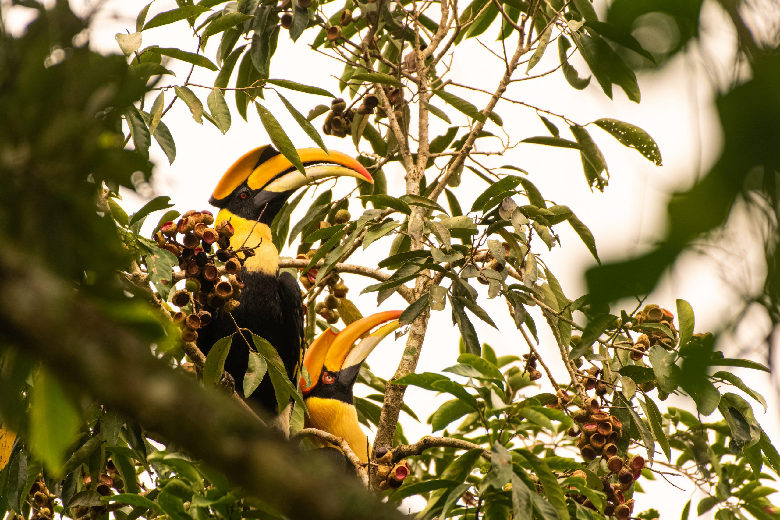 Great Hornbill bird couple sitting on a tree