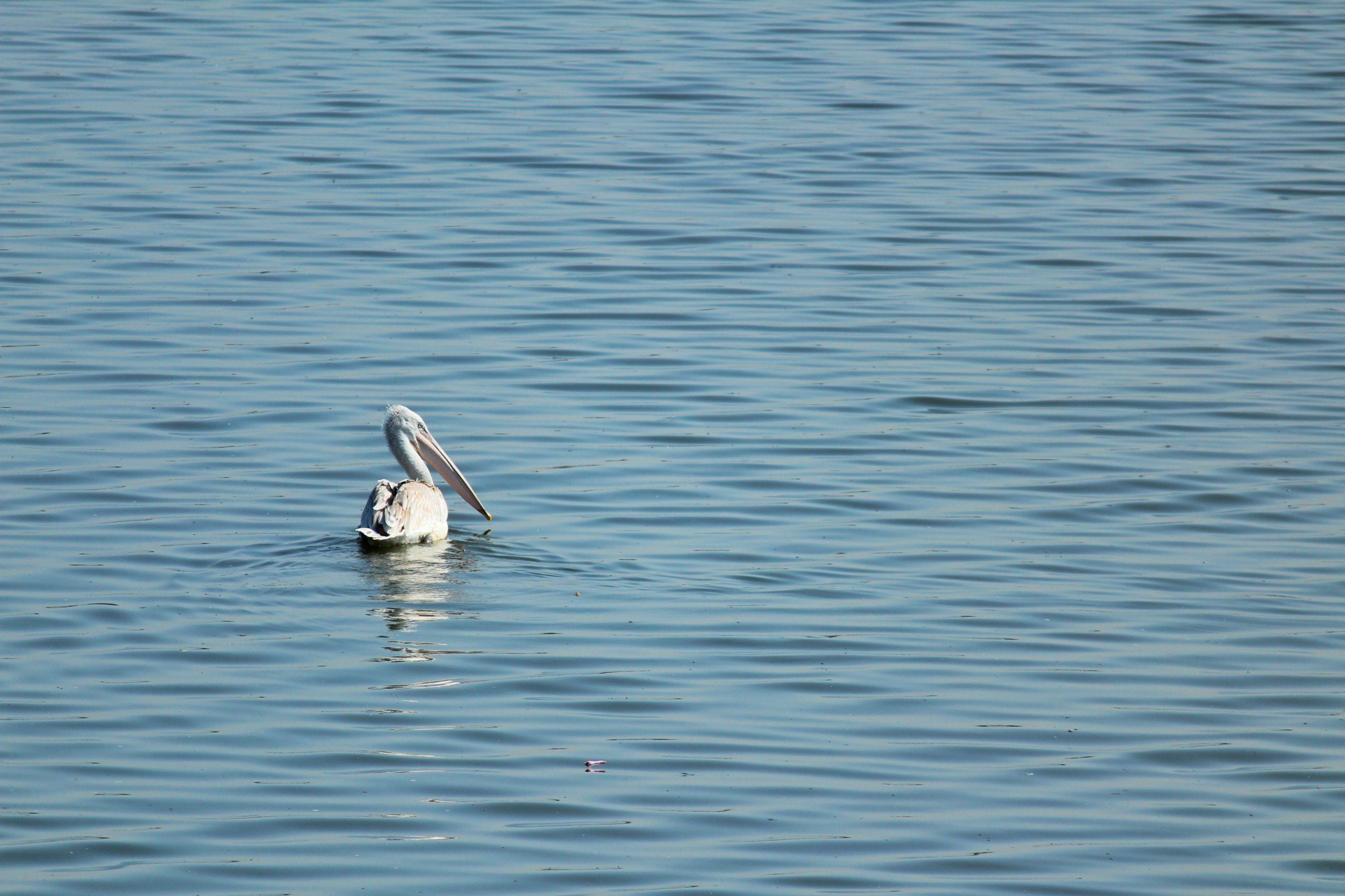 Great Pelican