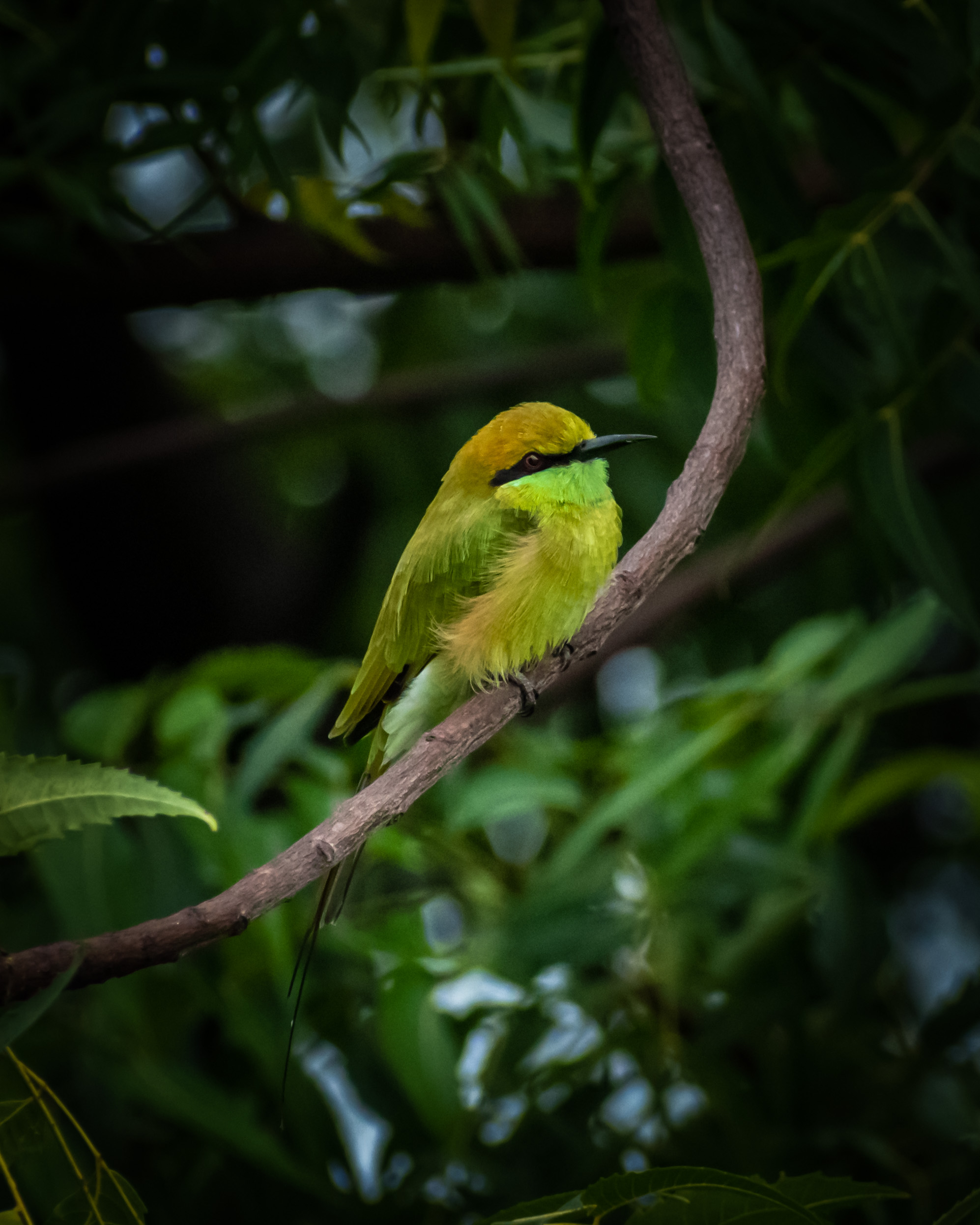 Green bee-eater bird on a tree branch