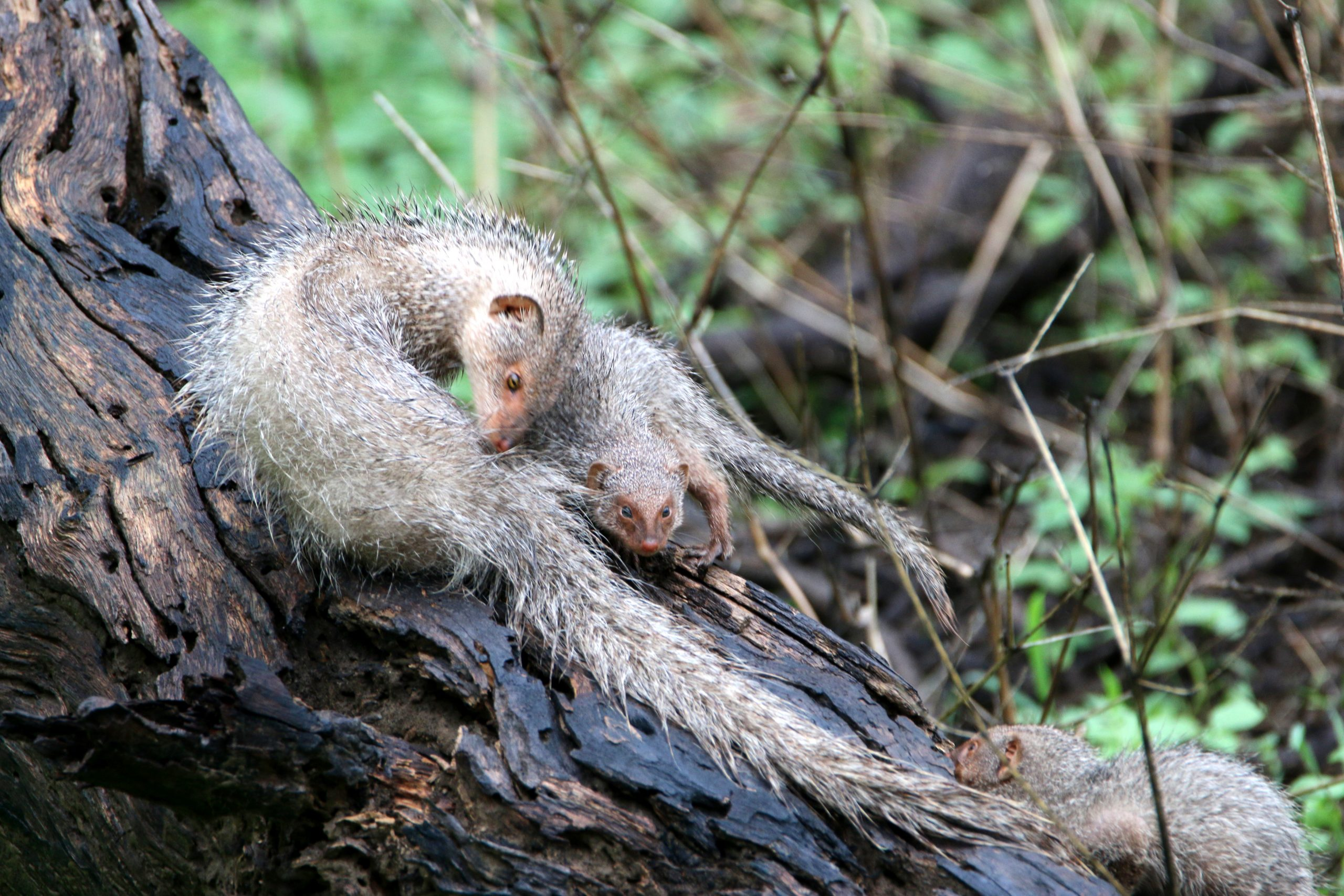 Grey Mongoose with Pup on Tree Trunk