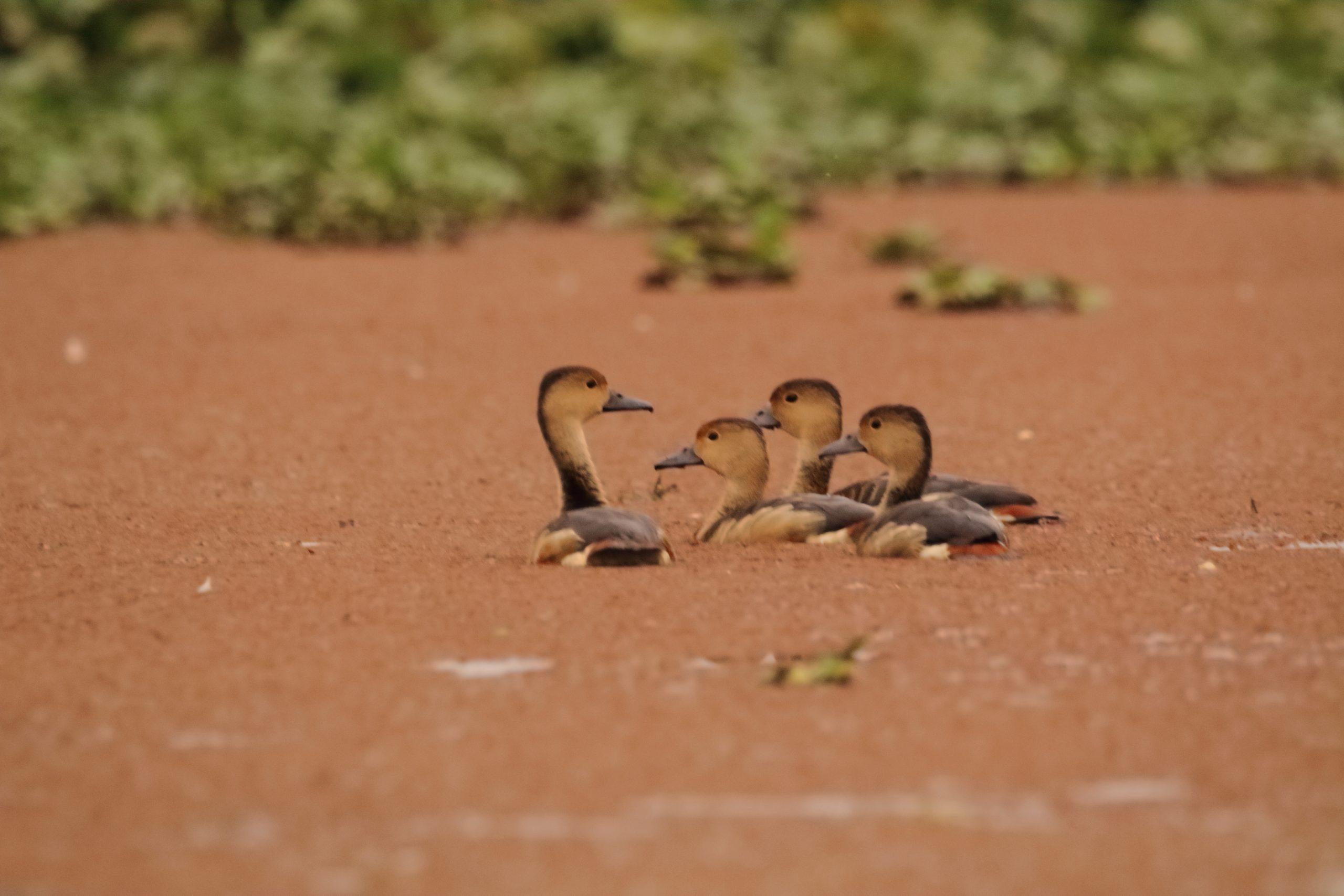 A group of Leser Whistling Ducks.