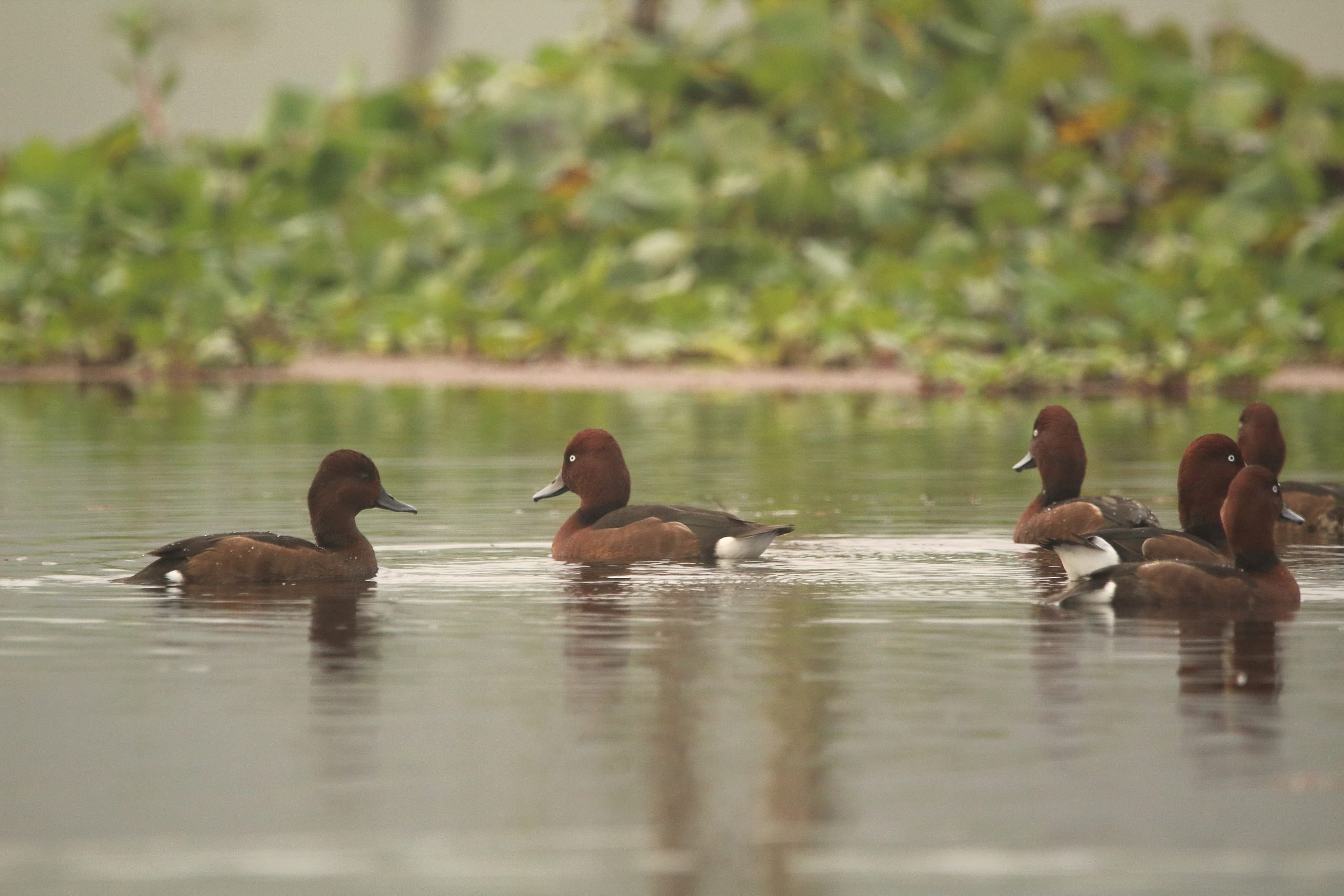 Group of Ferruginous Pochard