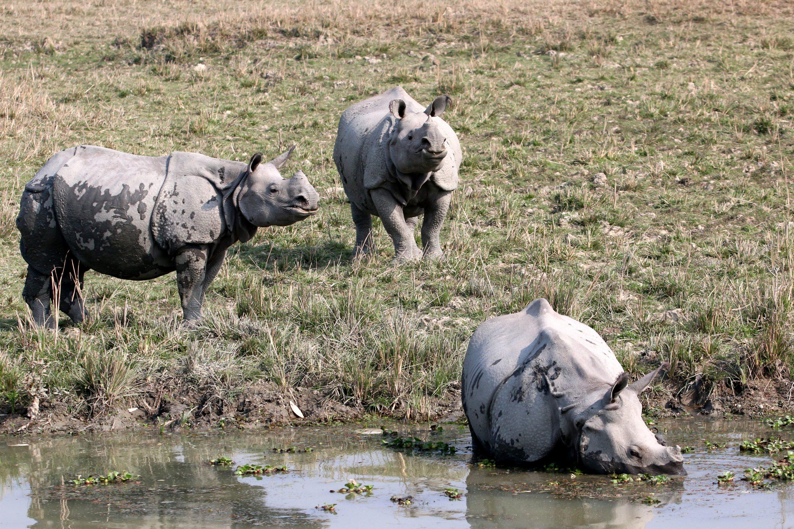 Group of White Rhinoceros
