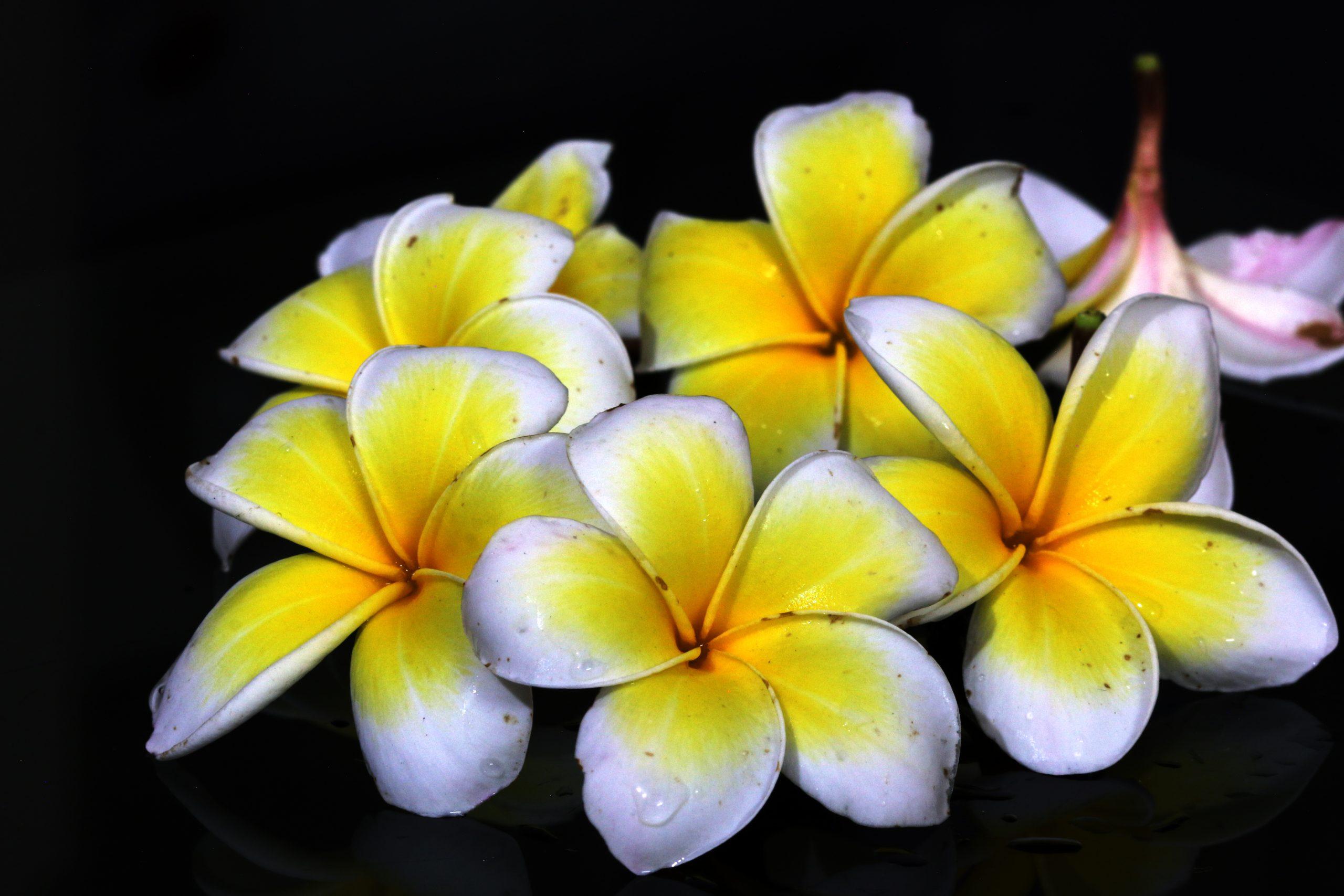 Gulancha flower