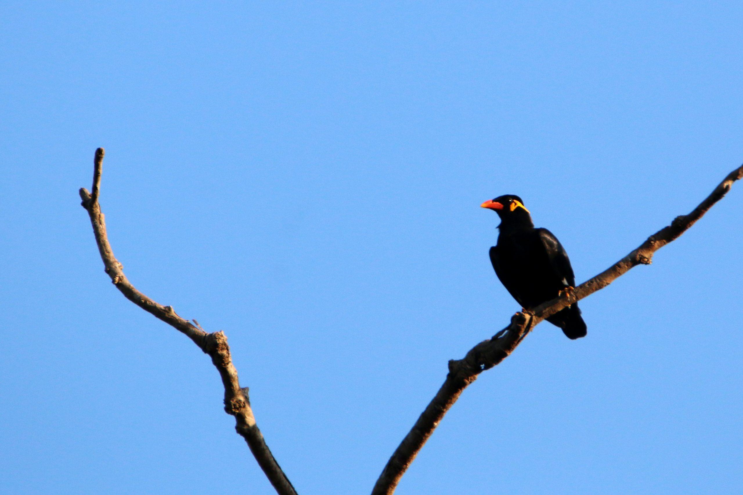 Hill Myna Bird