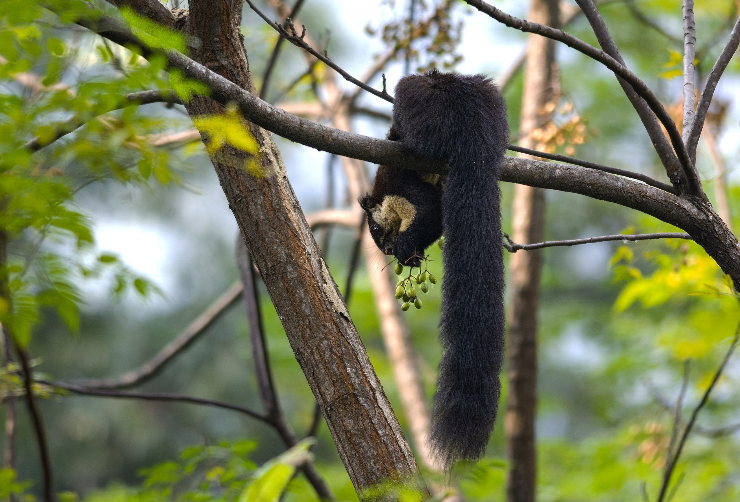 Himalayan Squirrel on the Trees
