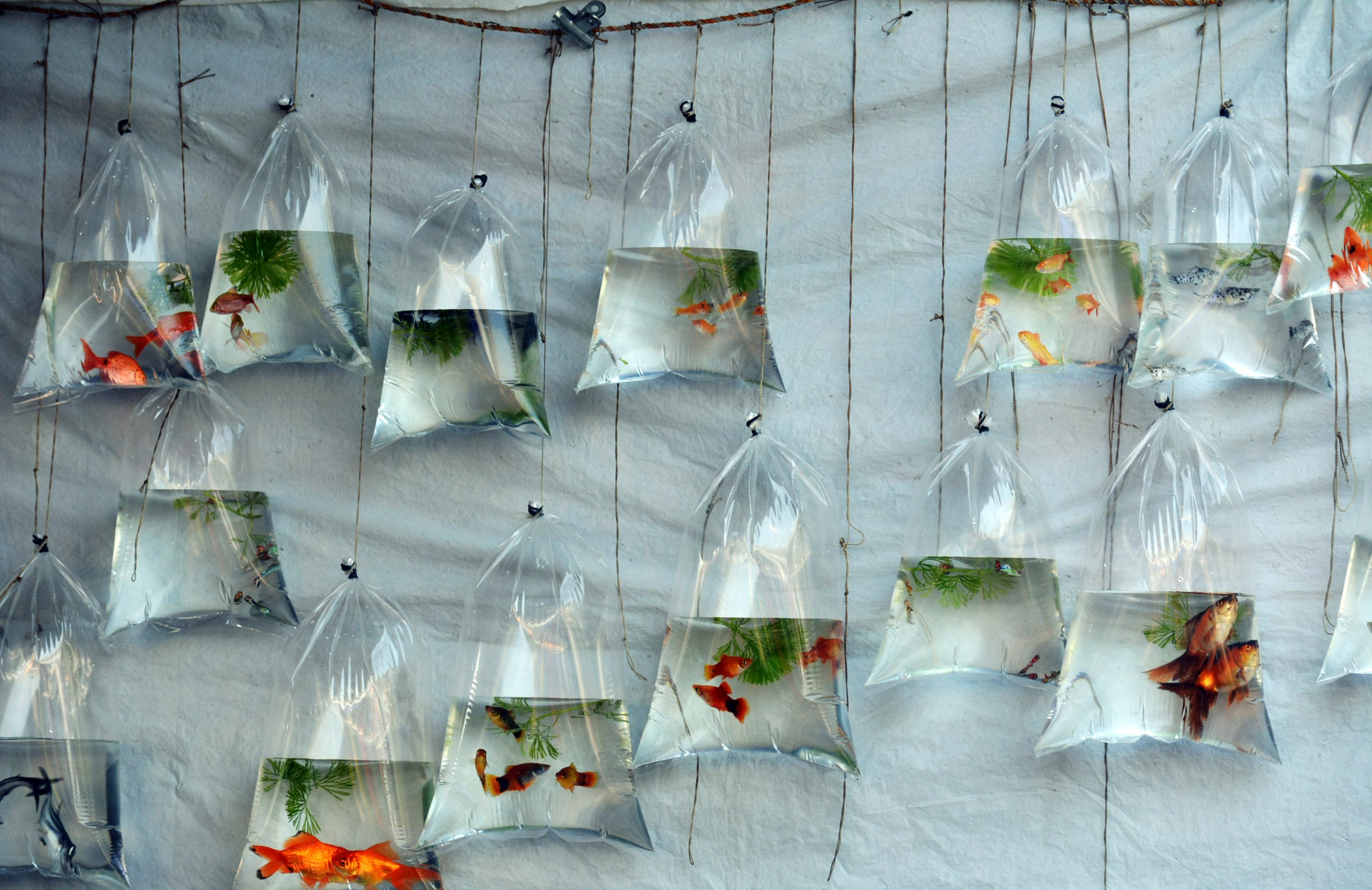 Fishes inside a plastic bag