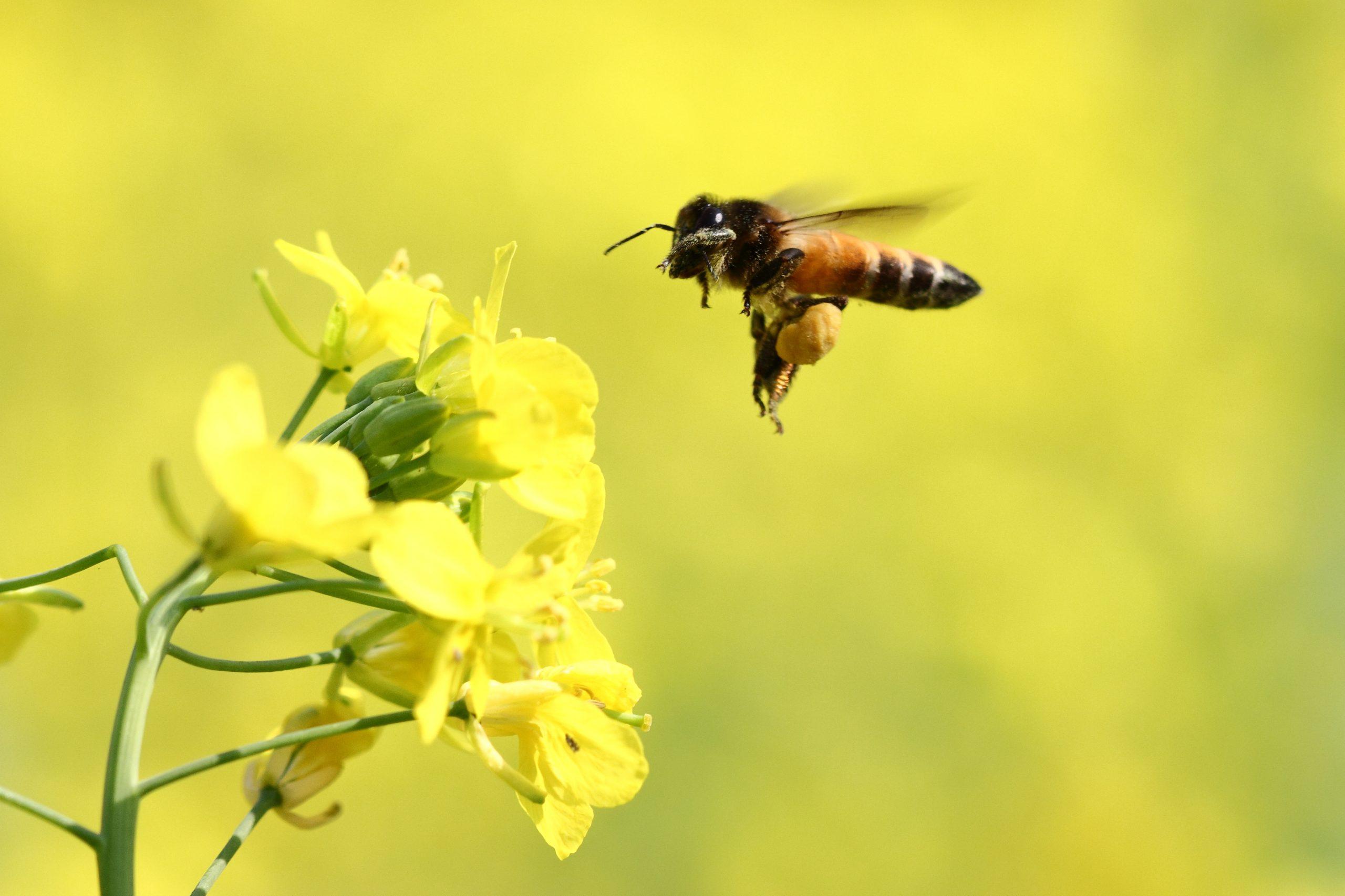 Honey bee hovering around flowers