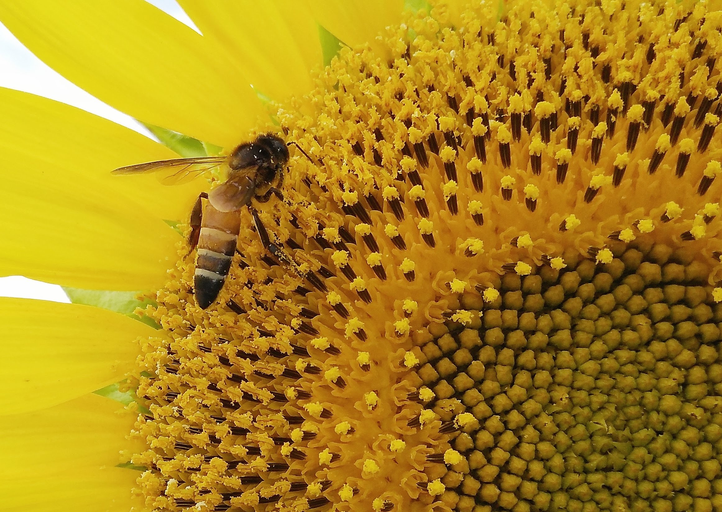 Honey bee on Sunflower