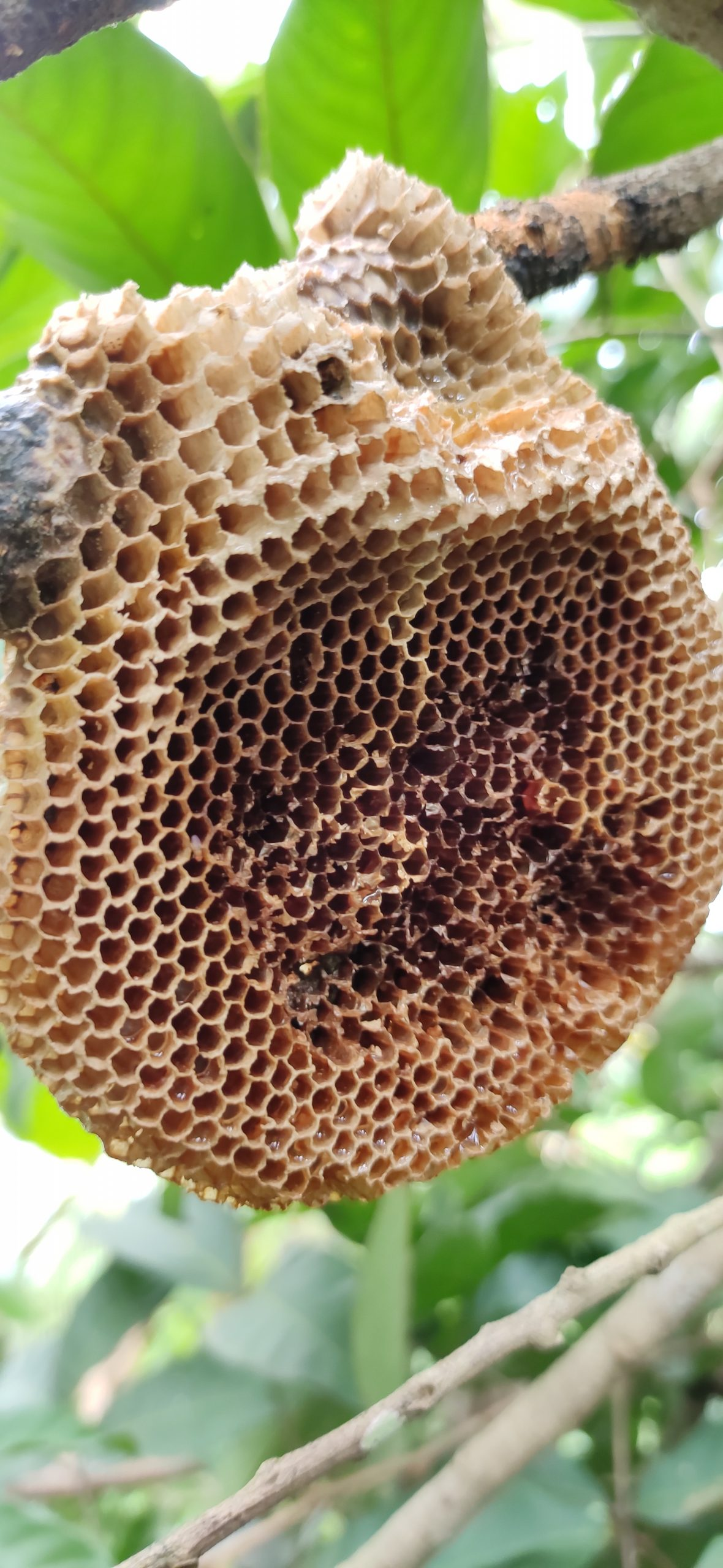 Honeycomb in the branch of tree