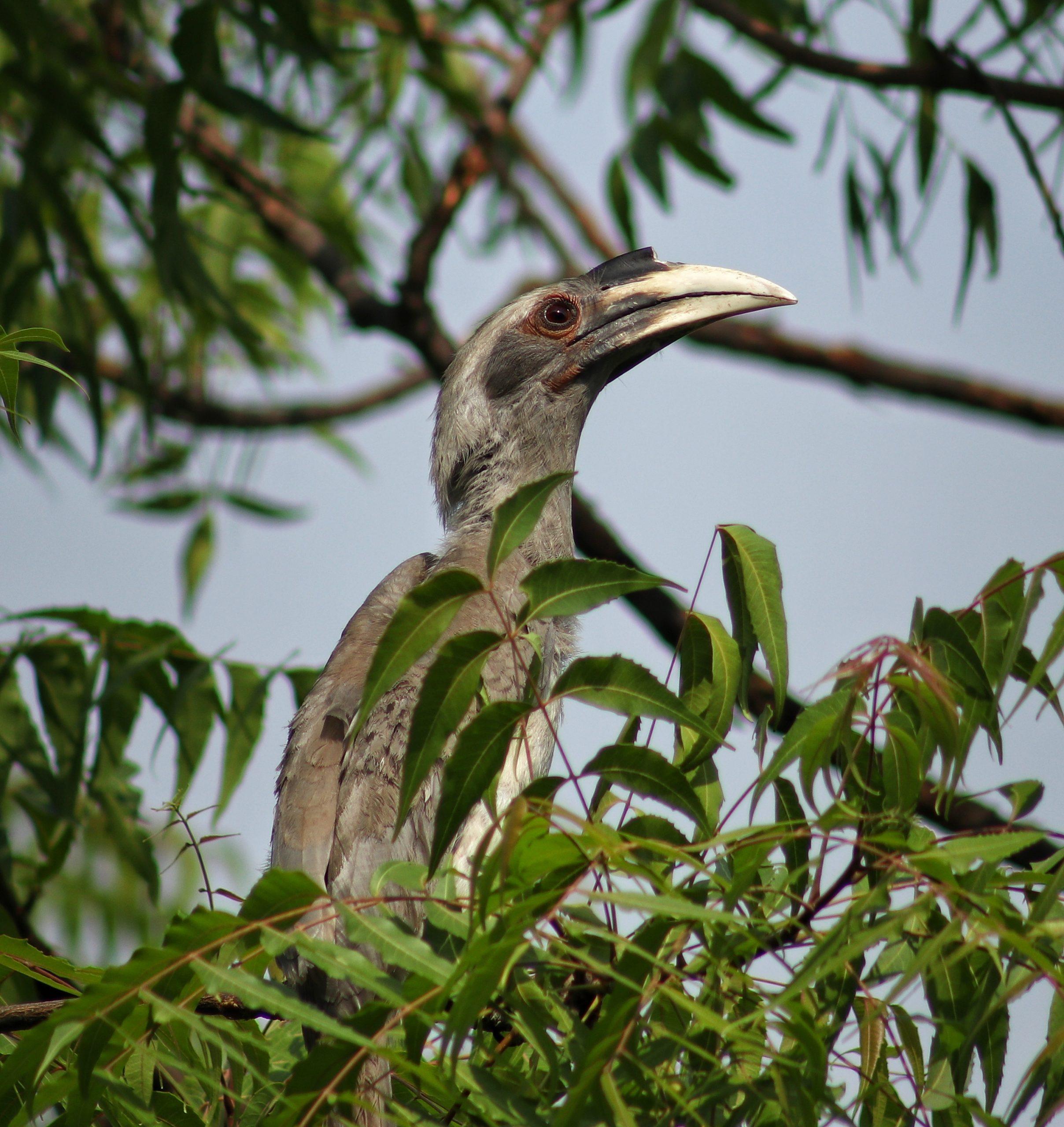 Hornbill love