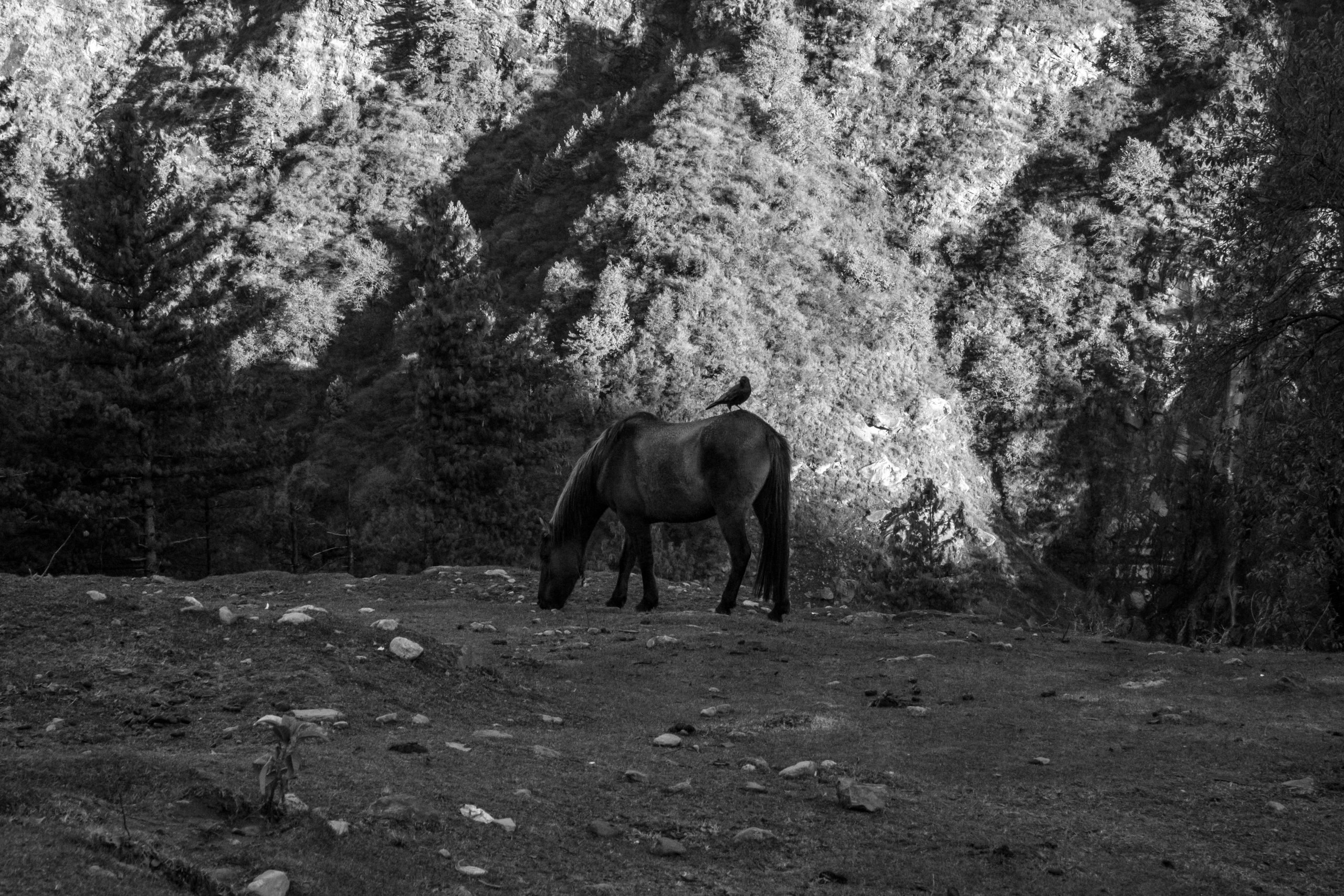 A horse grazing in the forest