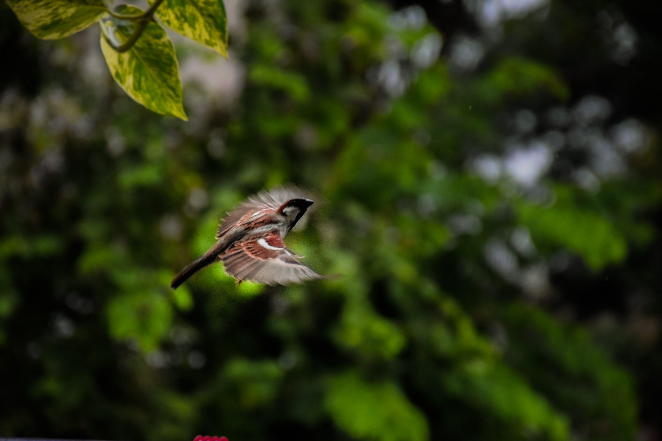 House Sparrow Bird on Flight