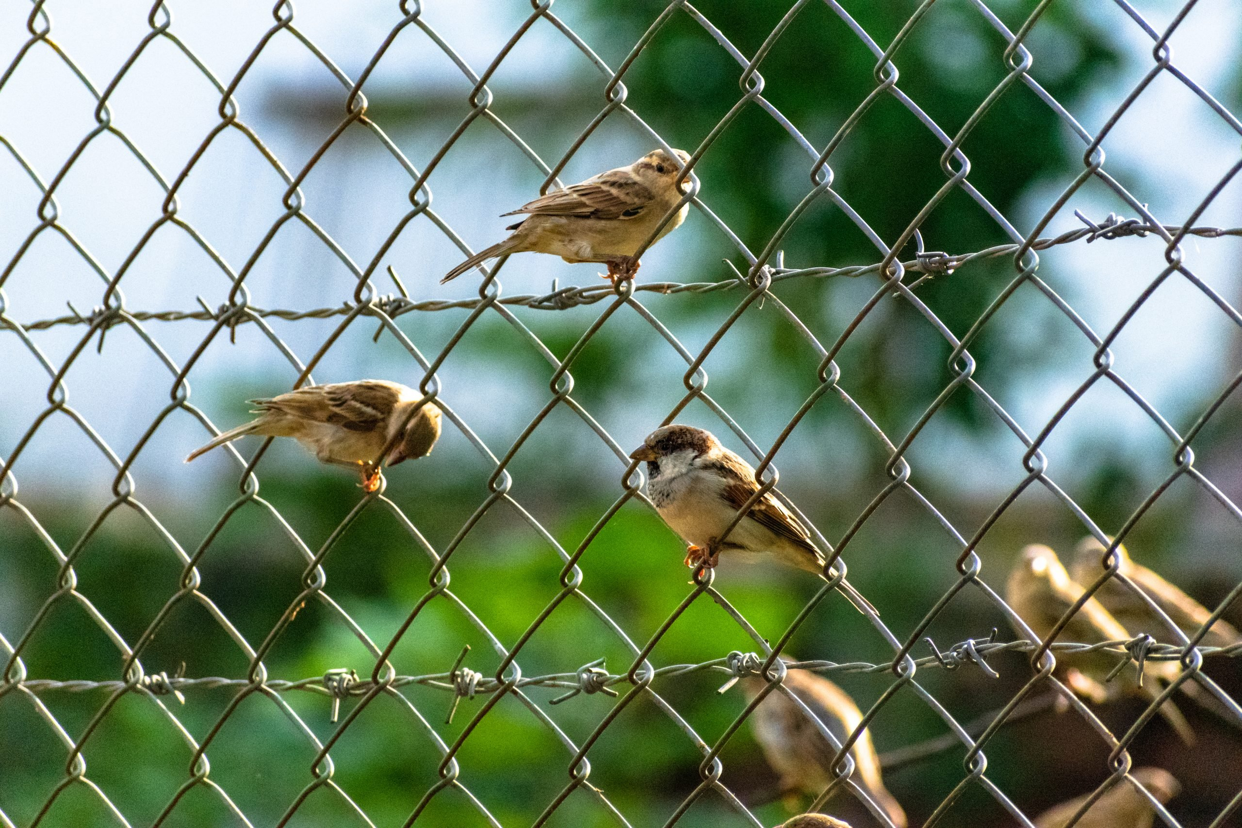 House sparrow in the Fence on Focus