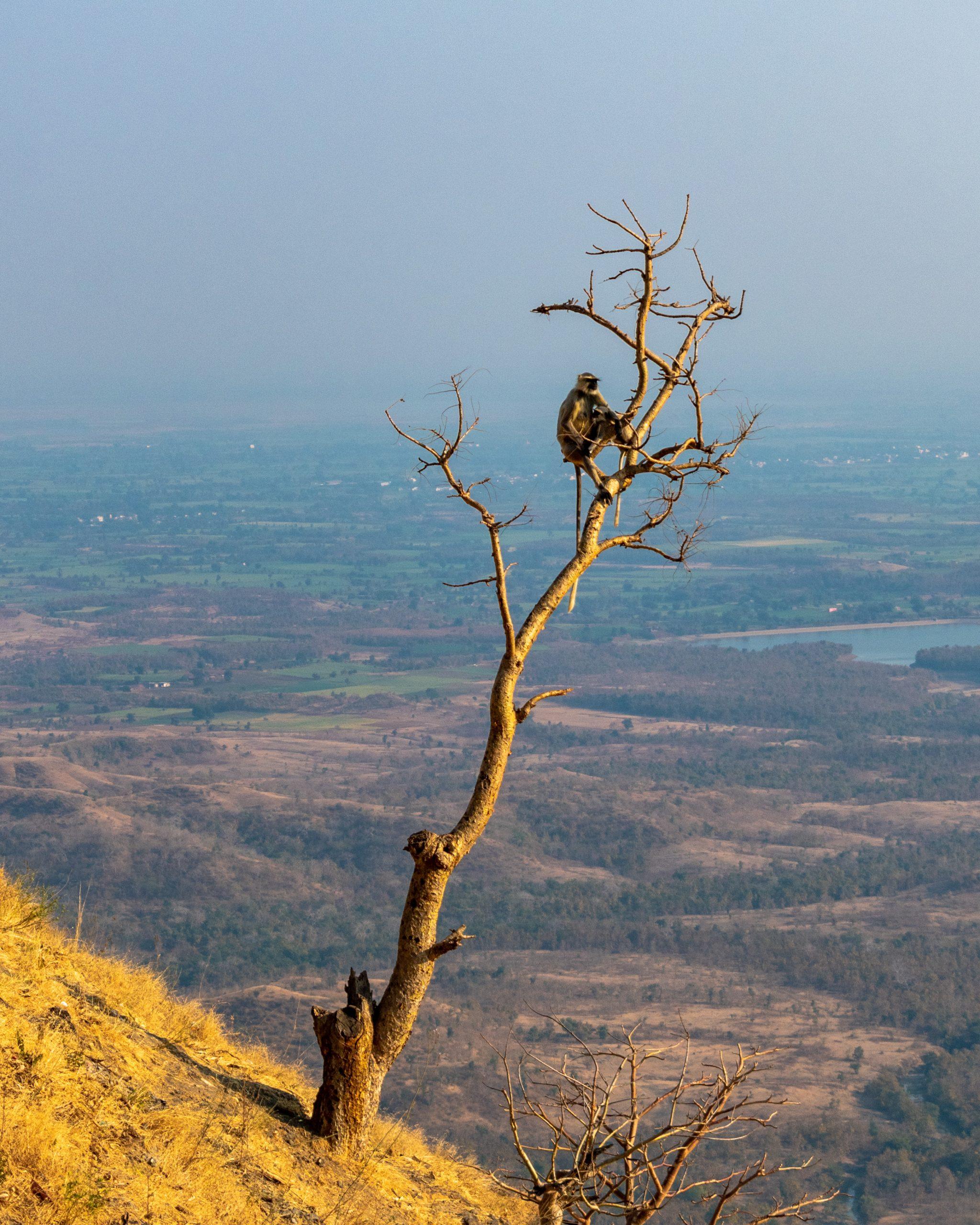 Indian Langur