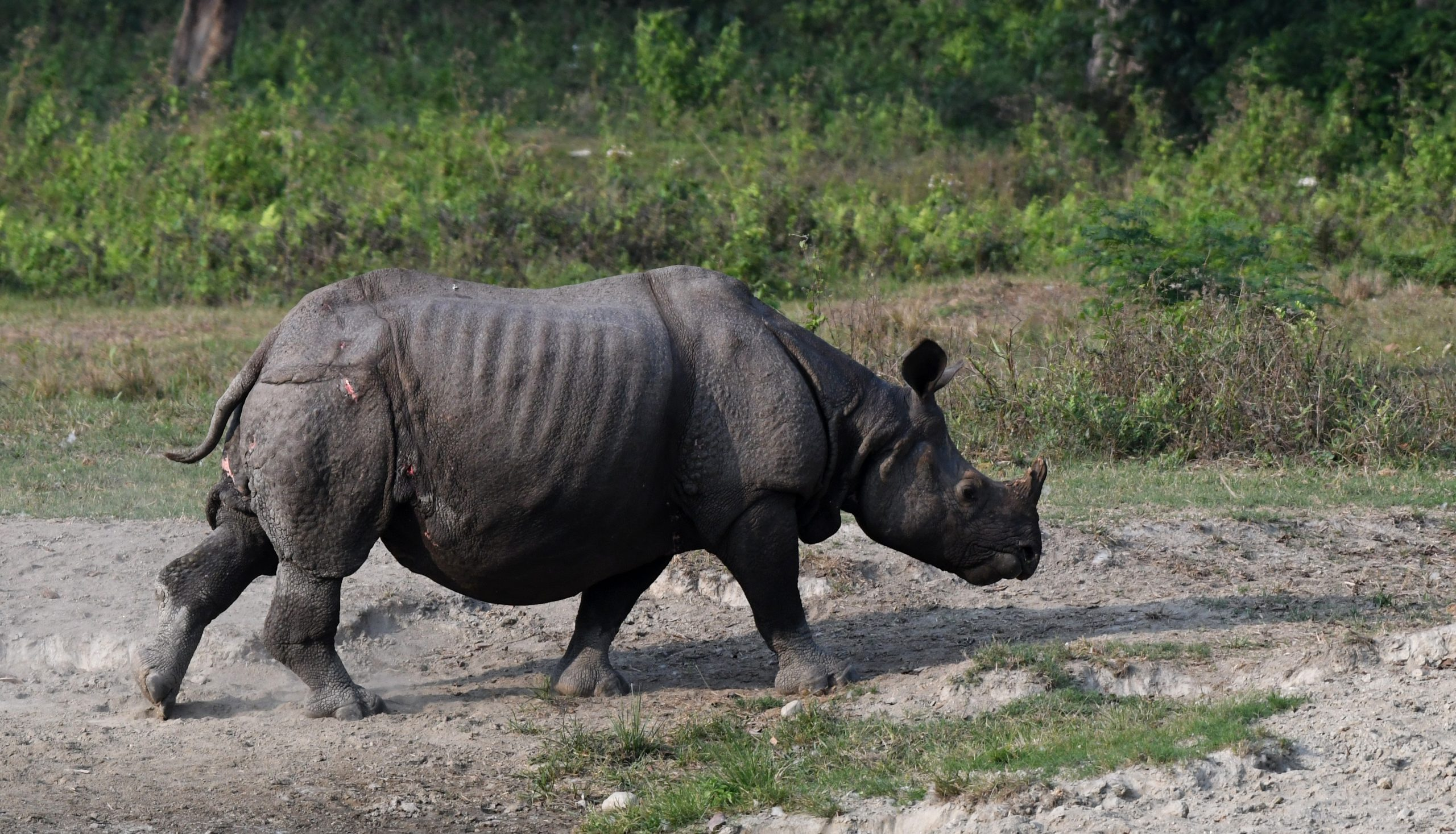 Indian Rhinoceros retreating after battle