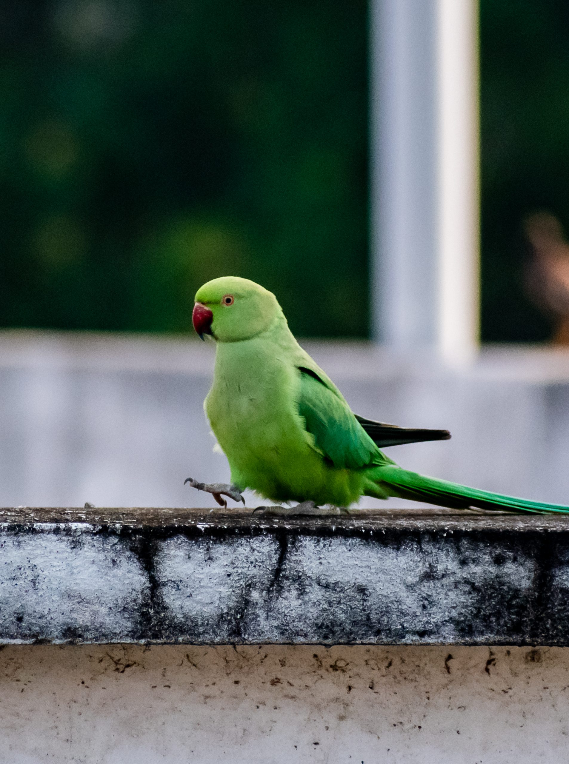 Indian Ringneck Parrot siiting on a wall.