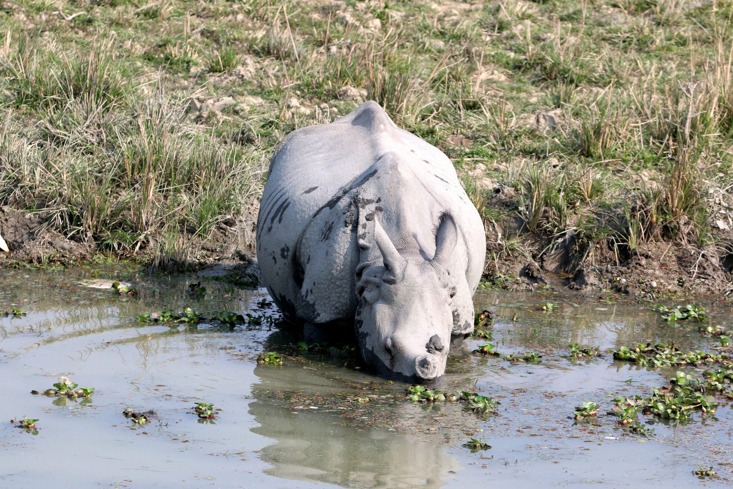 Indian White Rhinoceros