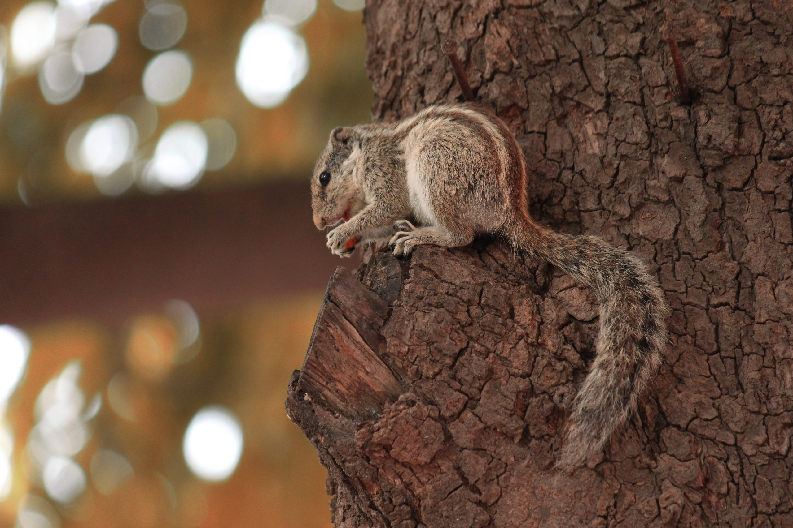 Indian squirrel on a tree