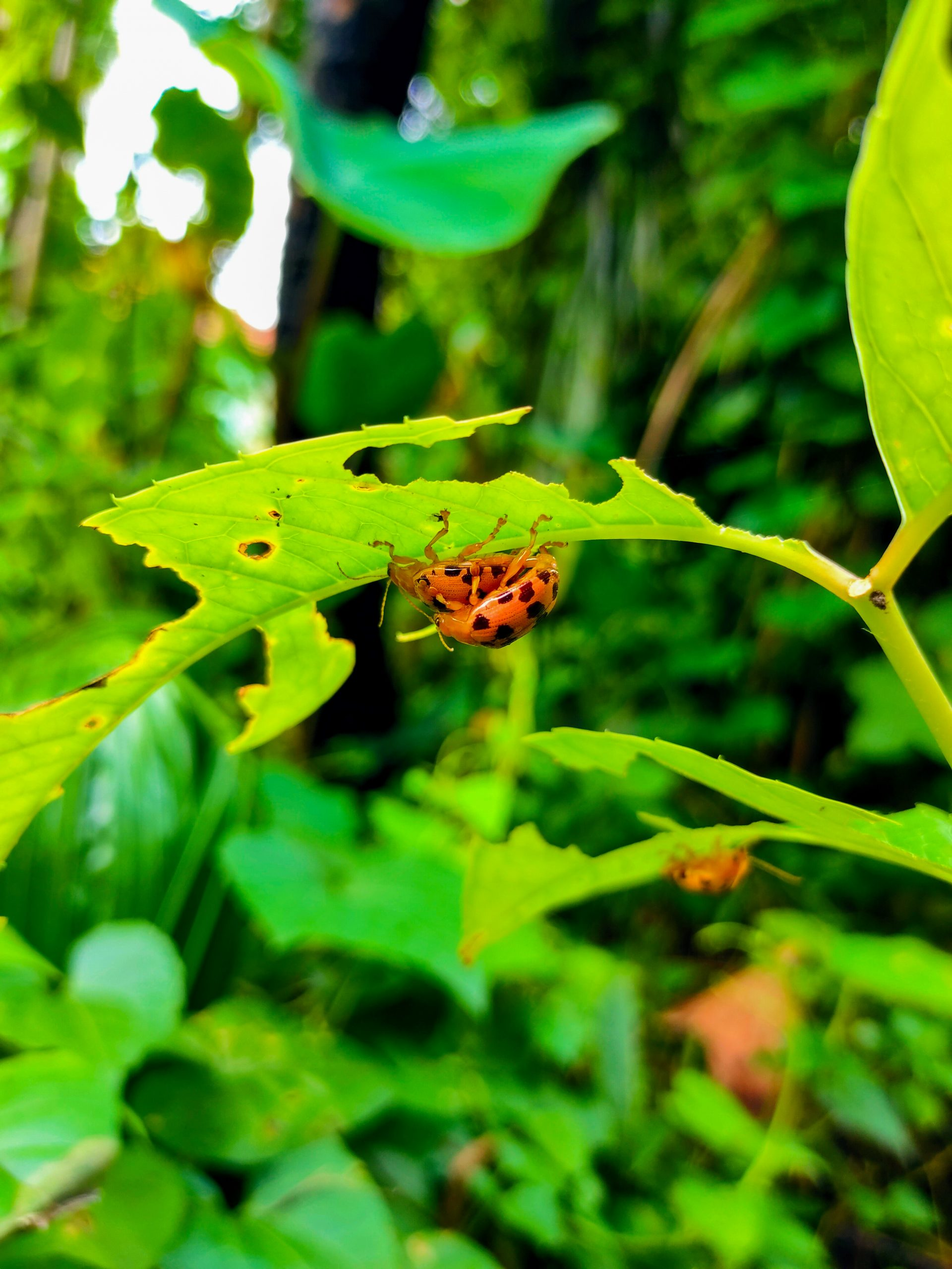 Insects mating under a leaf