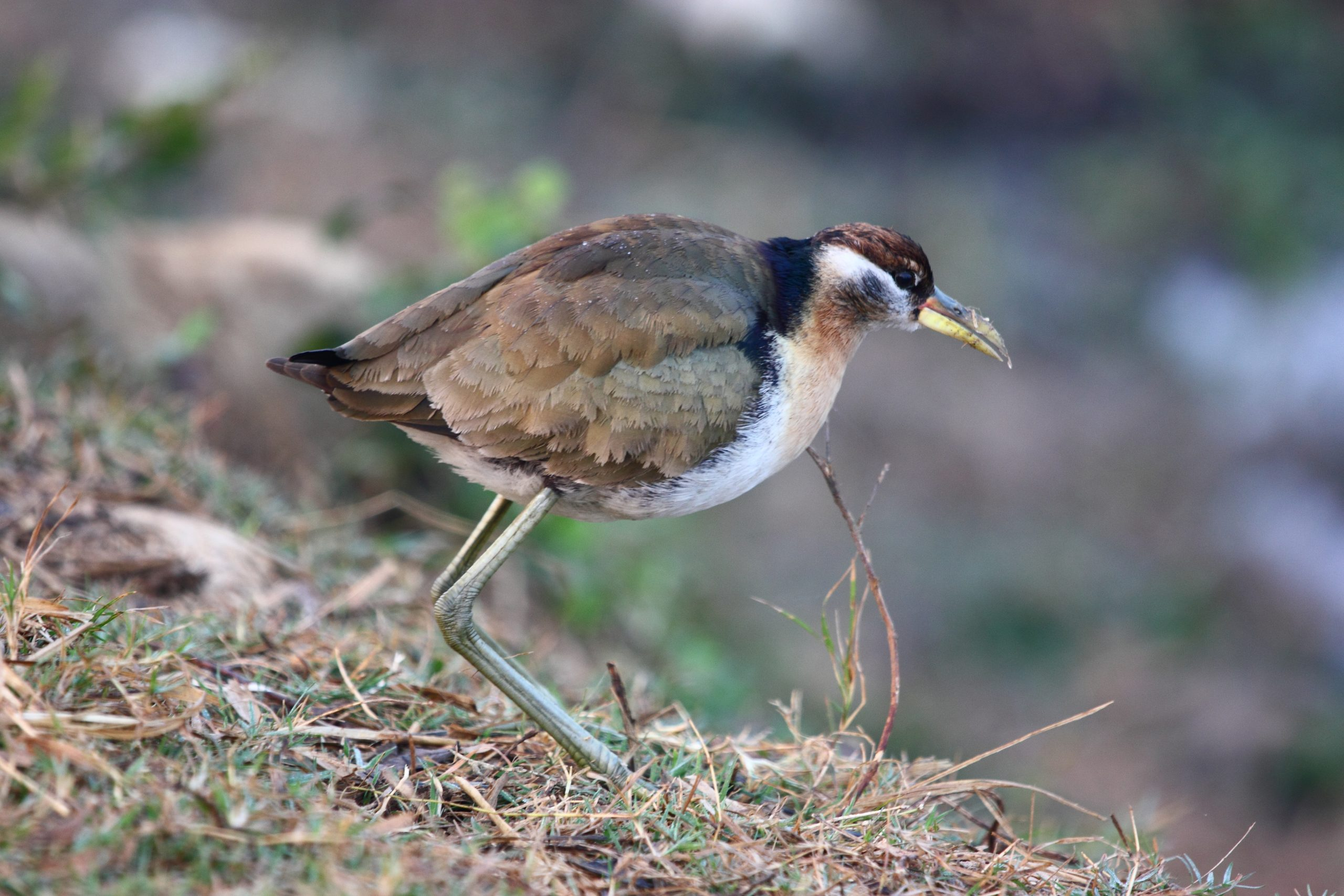 Jacana bird on land
