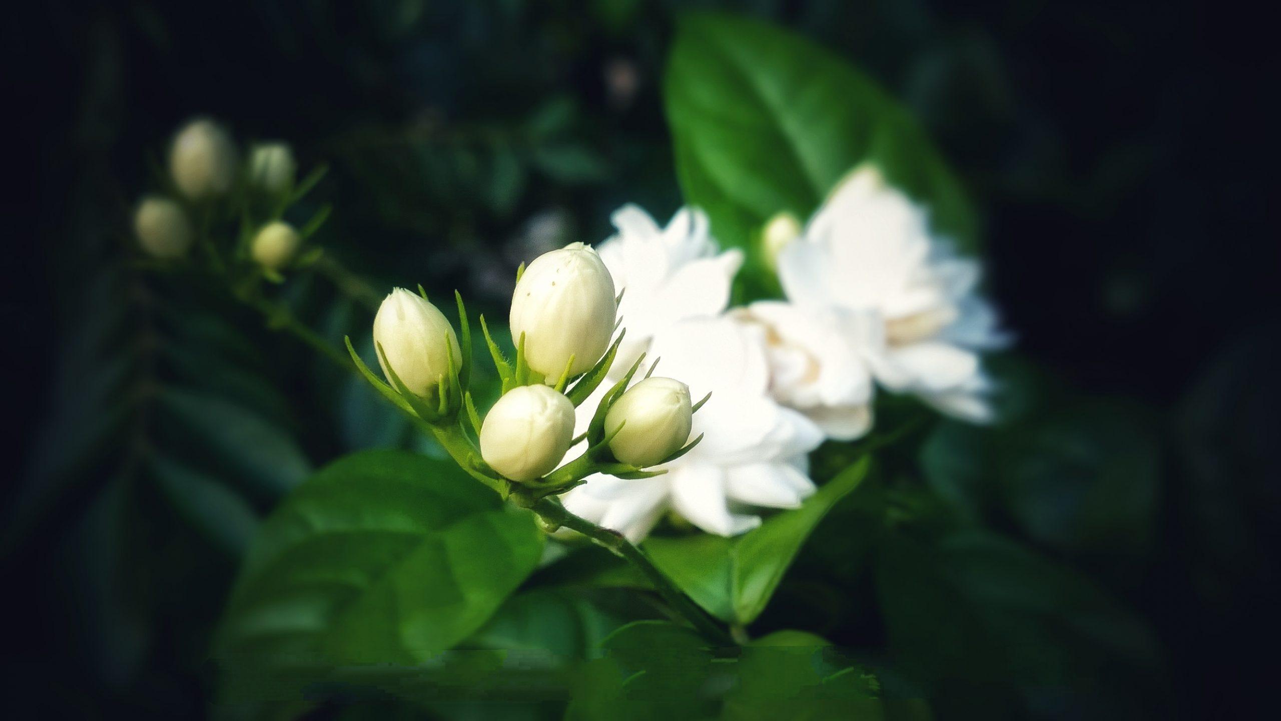 Jasmine buds